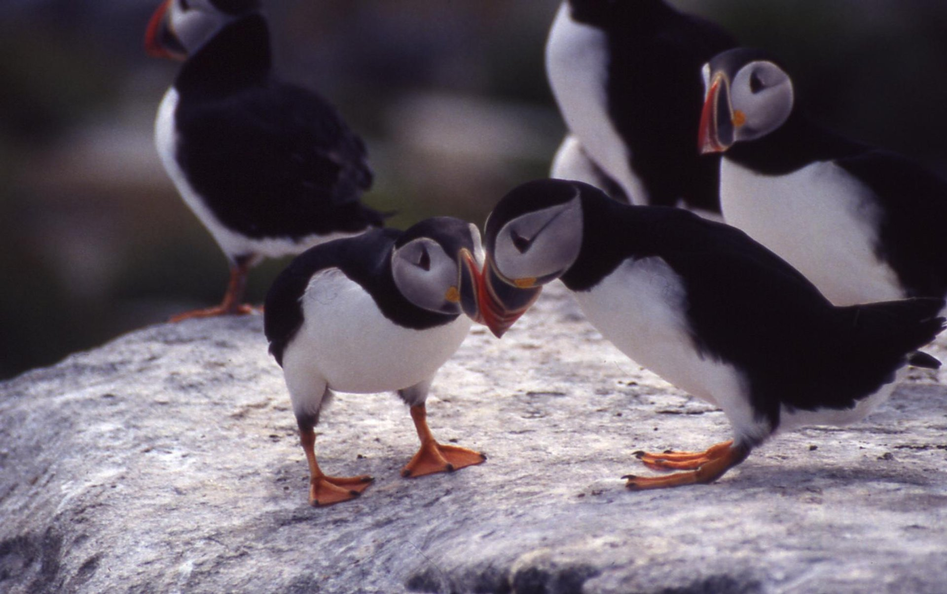 Atlantic puffins courtship billing at Maine Coastal Island National Wildlife Refuge 2020