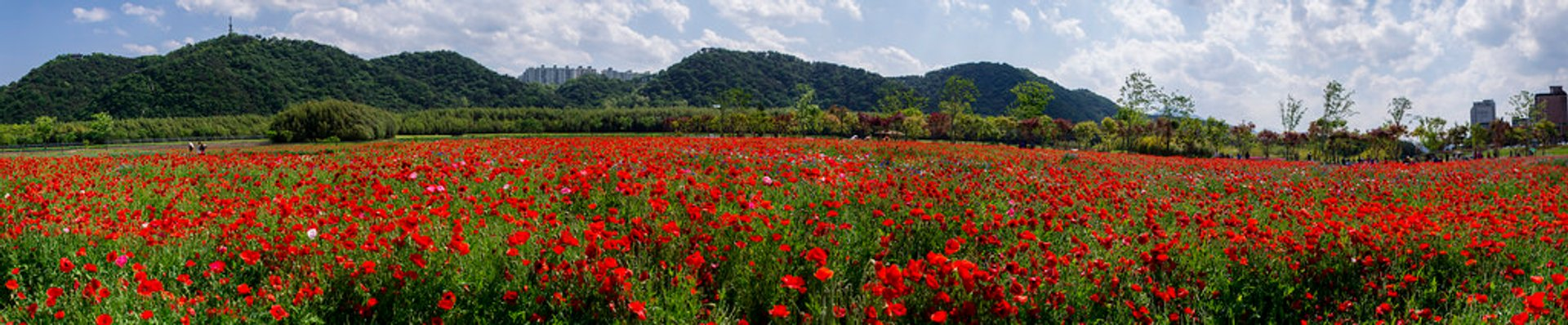 Poppy Fields in South Korea - Best Season 2020
