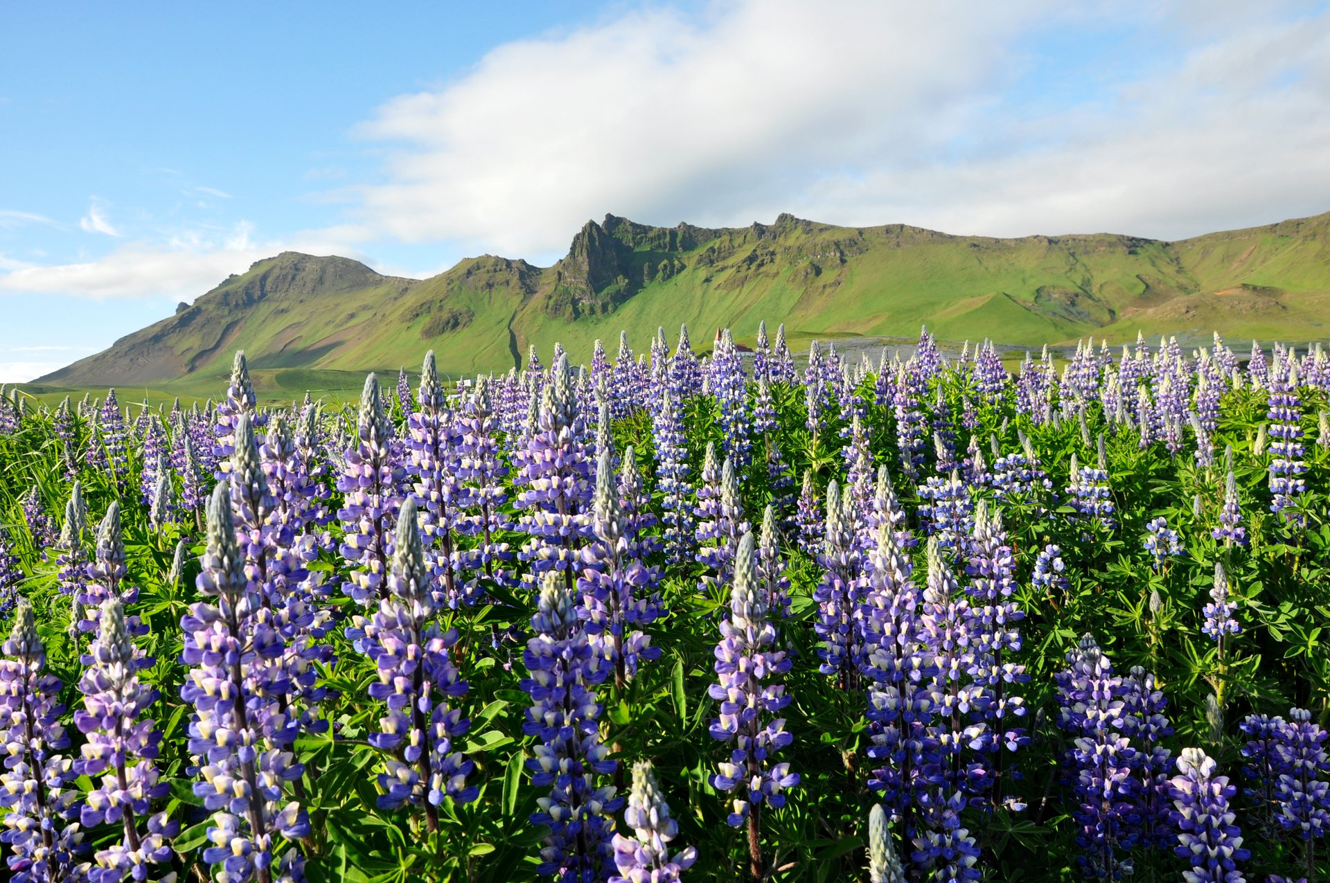Lupin Blooming in Iceland - Best Time