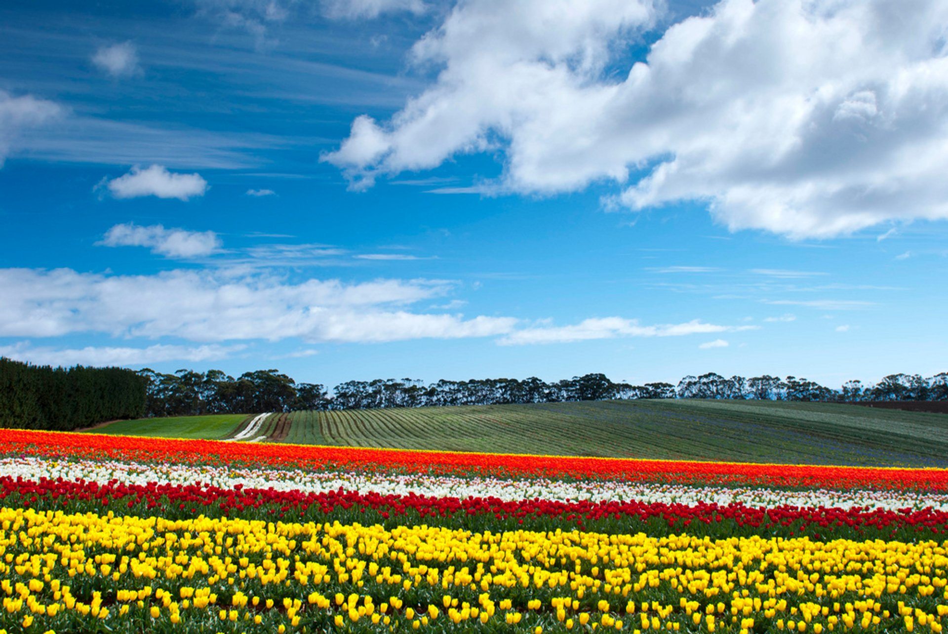 Blooming Tulips in Tasmania 2020 - Best Time