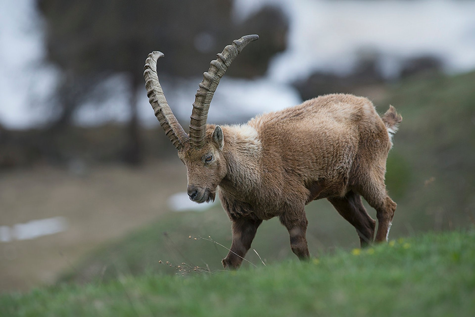 Best time to see Alpine Ibex in Austria 2020