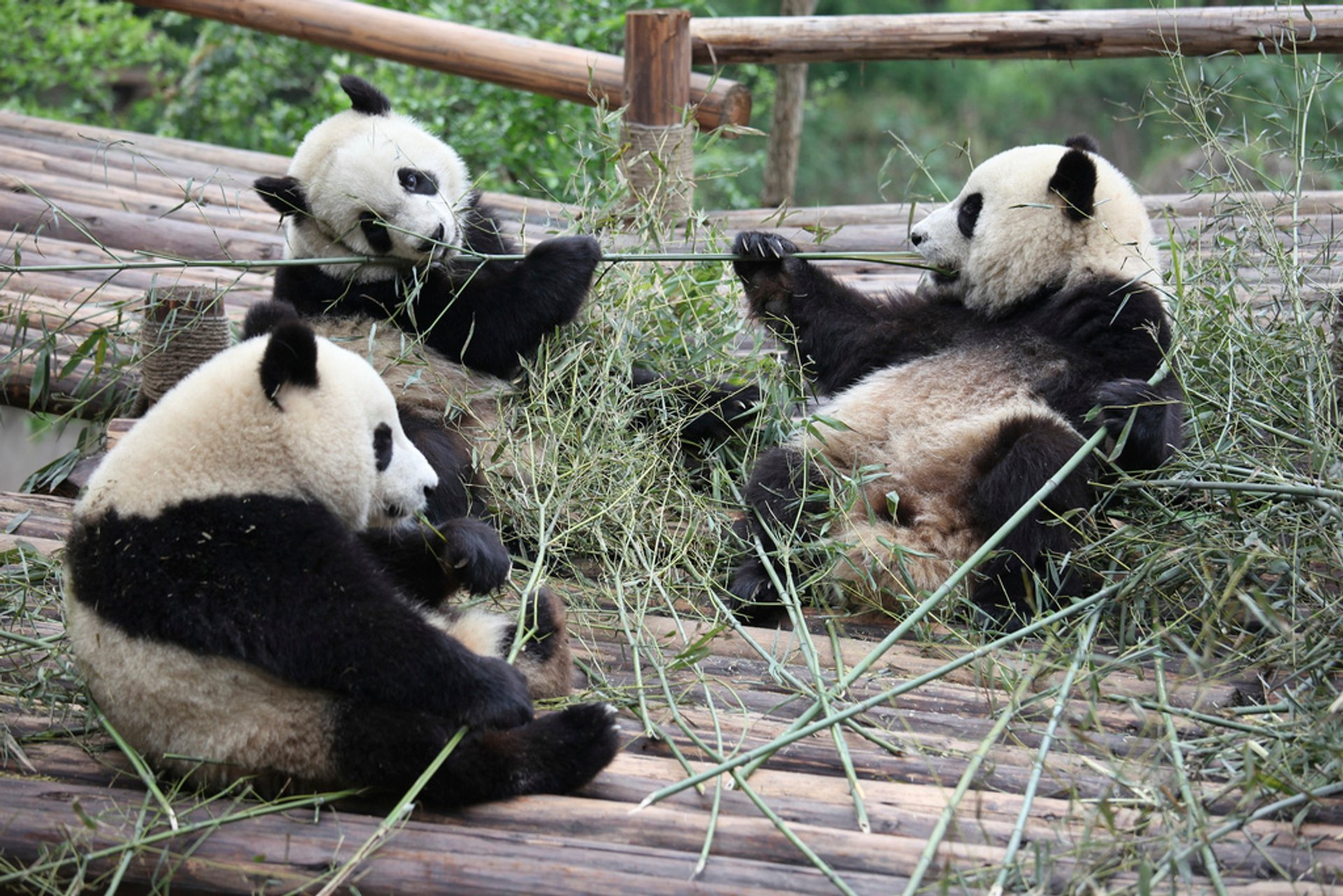Best time to see Giant Pandas in China 2020
