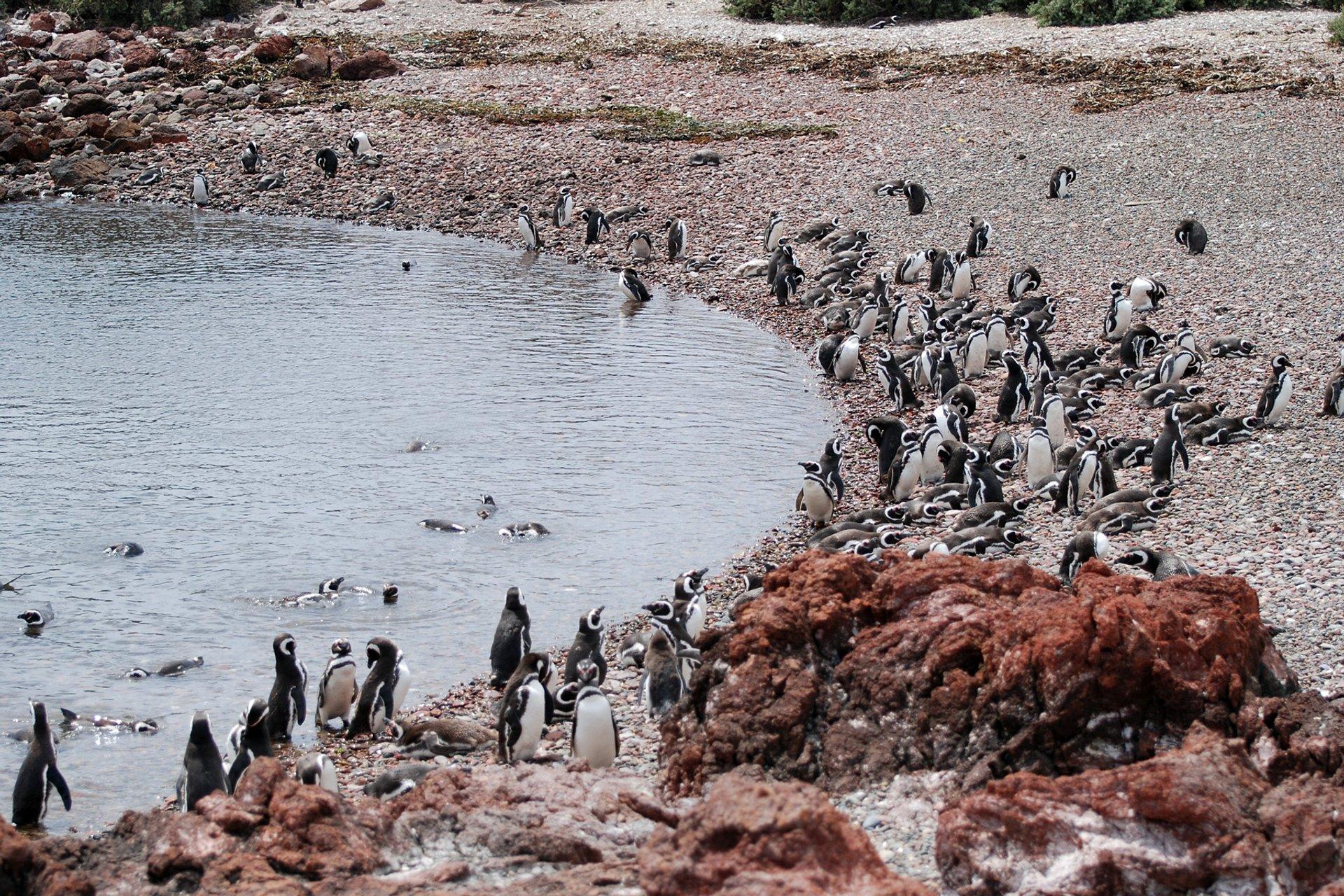 Magellanic Penguins 2020