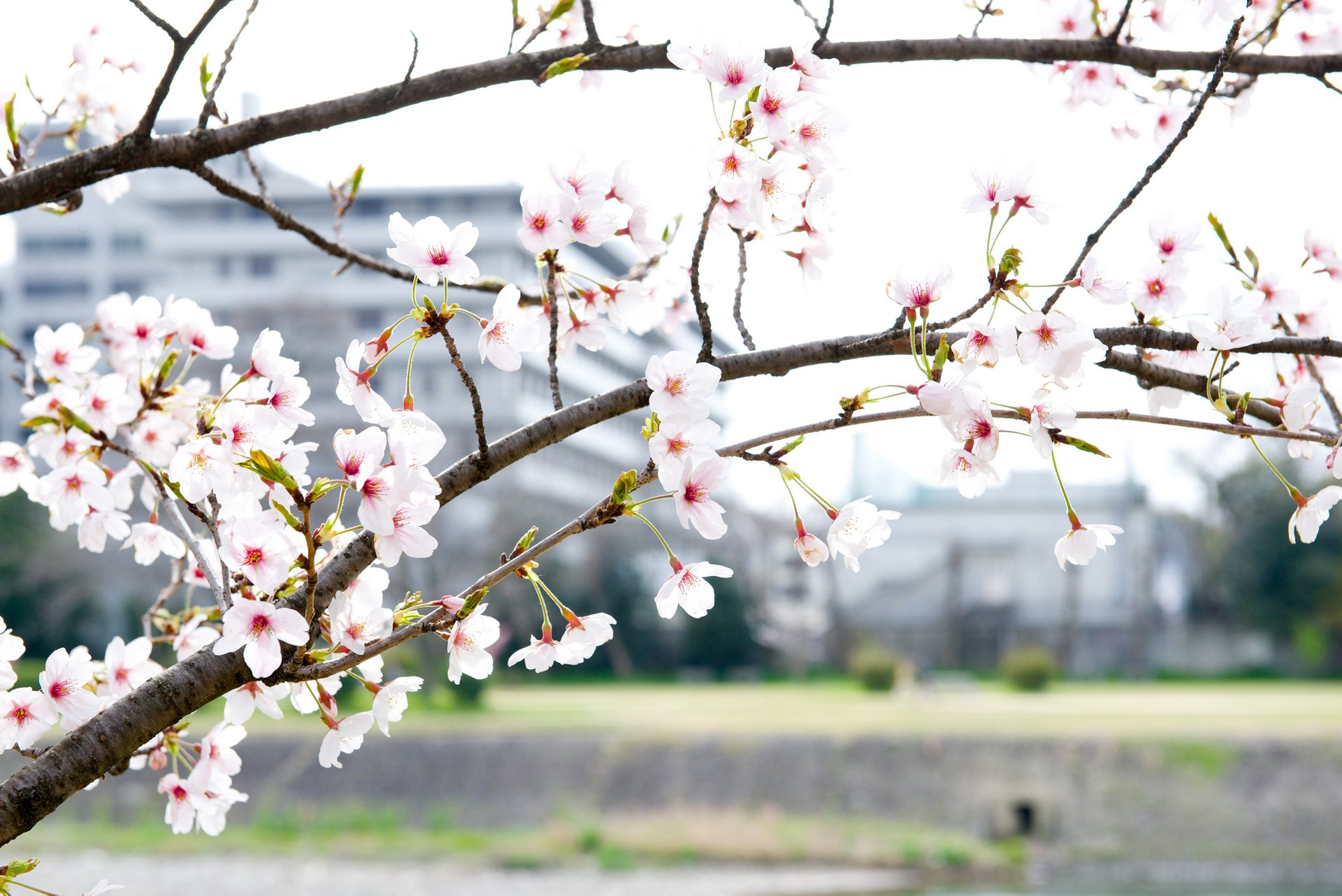 Cherry Blossom in Kyoto - Best Season 2020