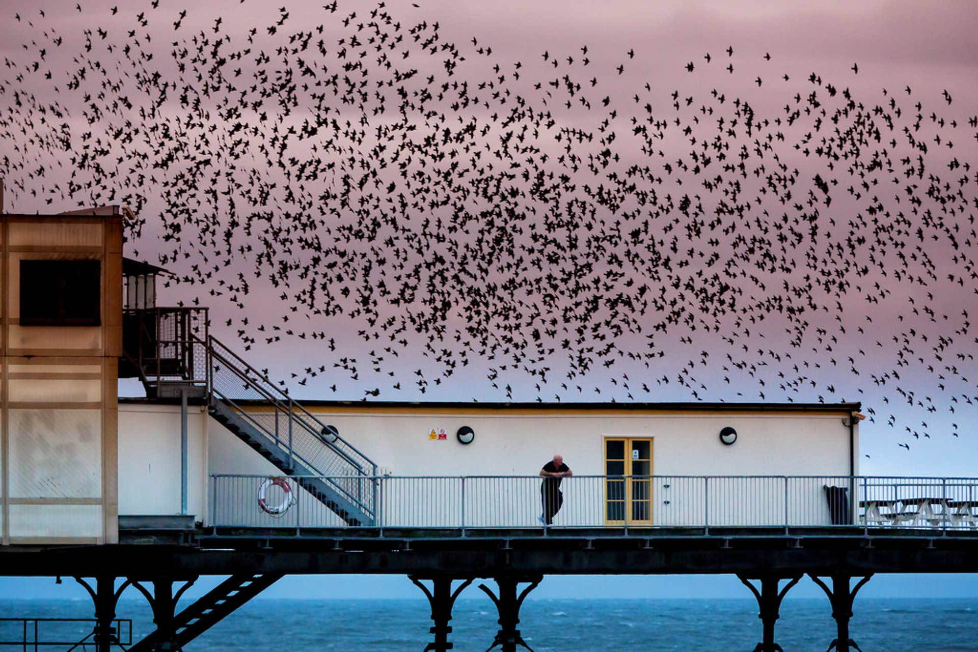 Starling Murmuration in Wales 2019 - Best Time