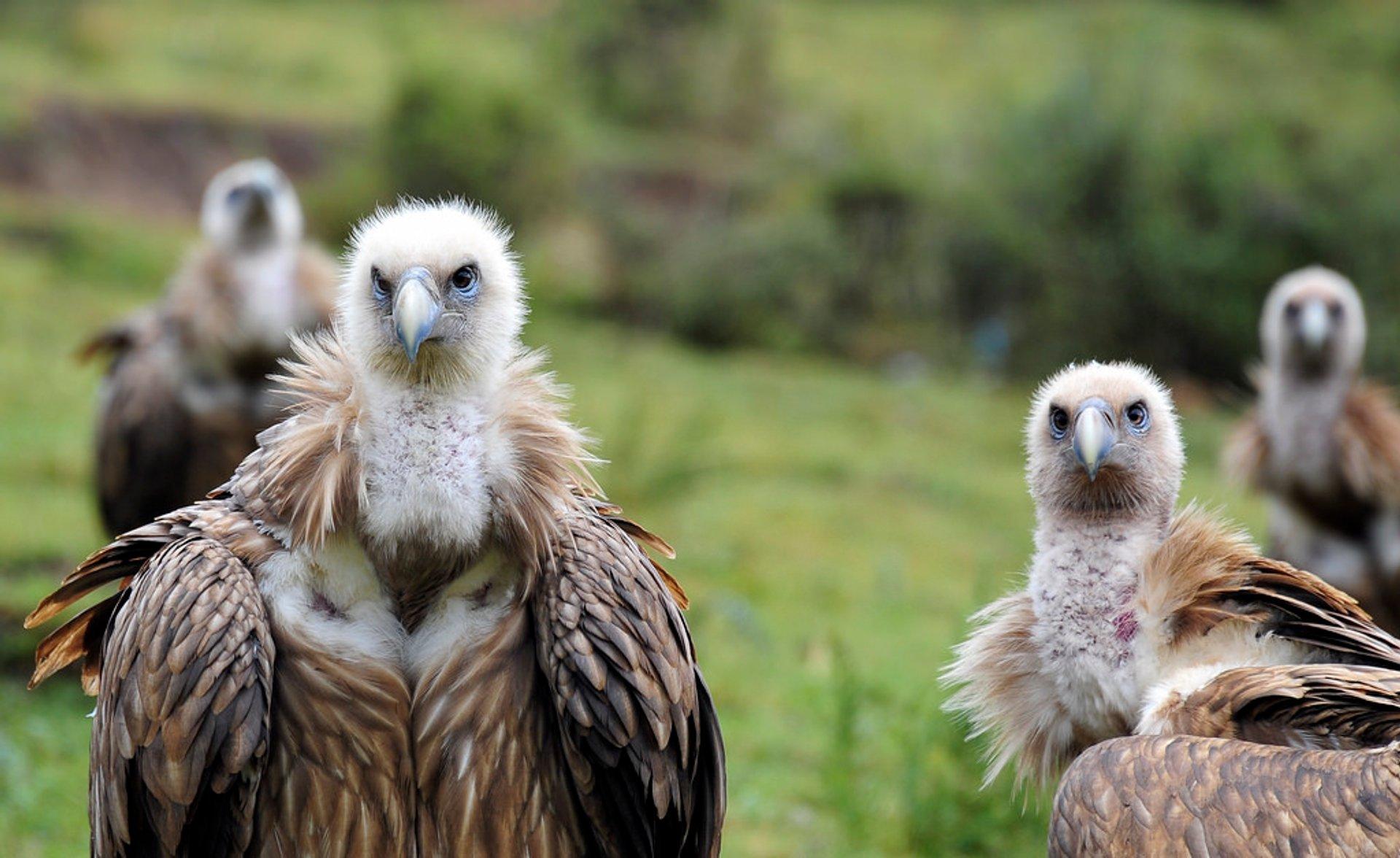 Vulture, the Sacred Bird of Tibet in Tibet - Best Time