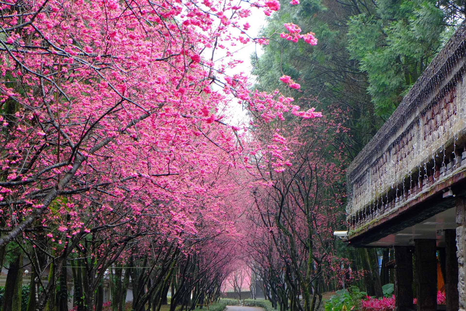 Cherry Blossom in Taiwan 2020 - Best Time