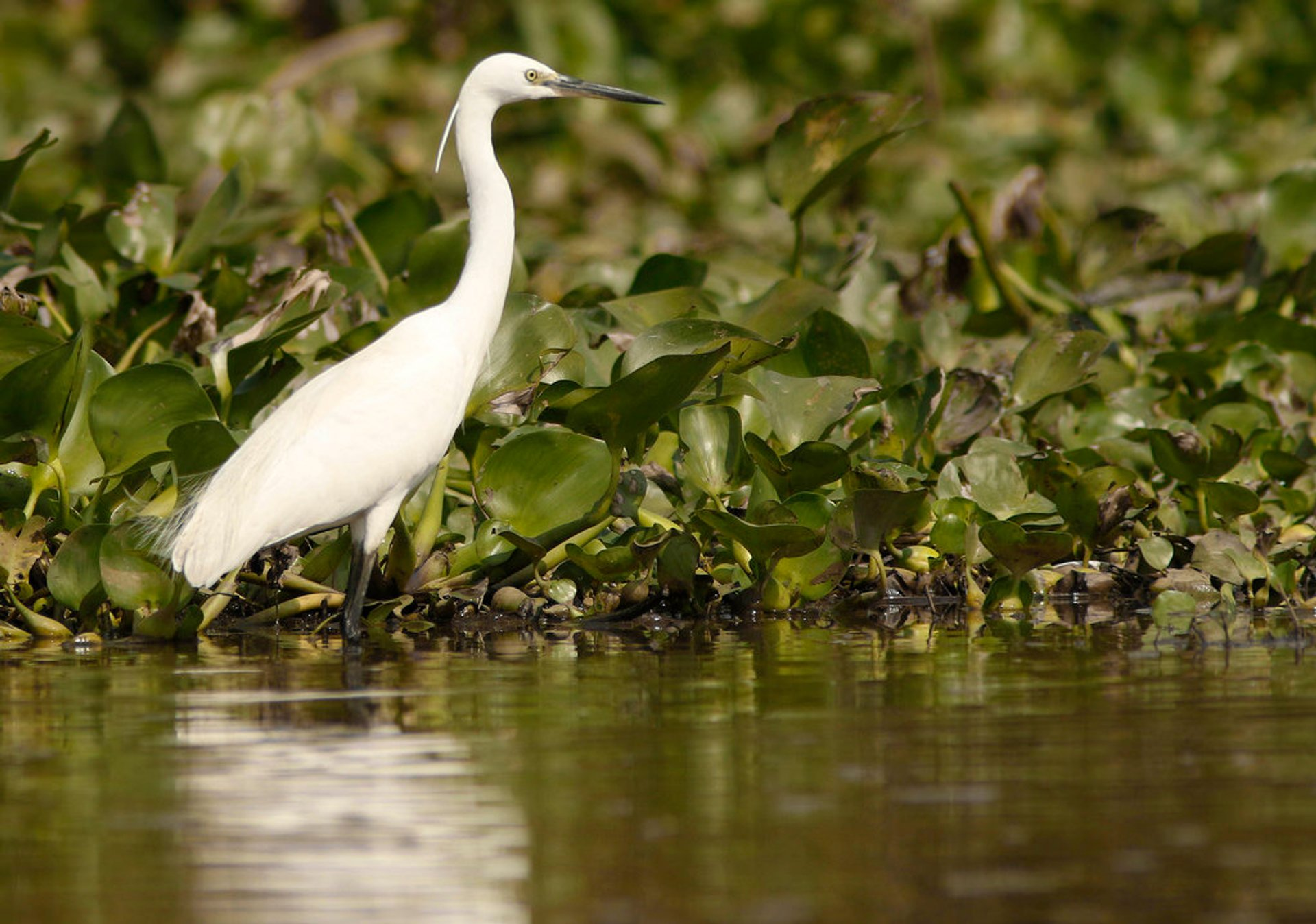 Little Egret 2019