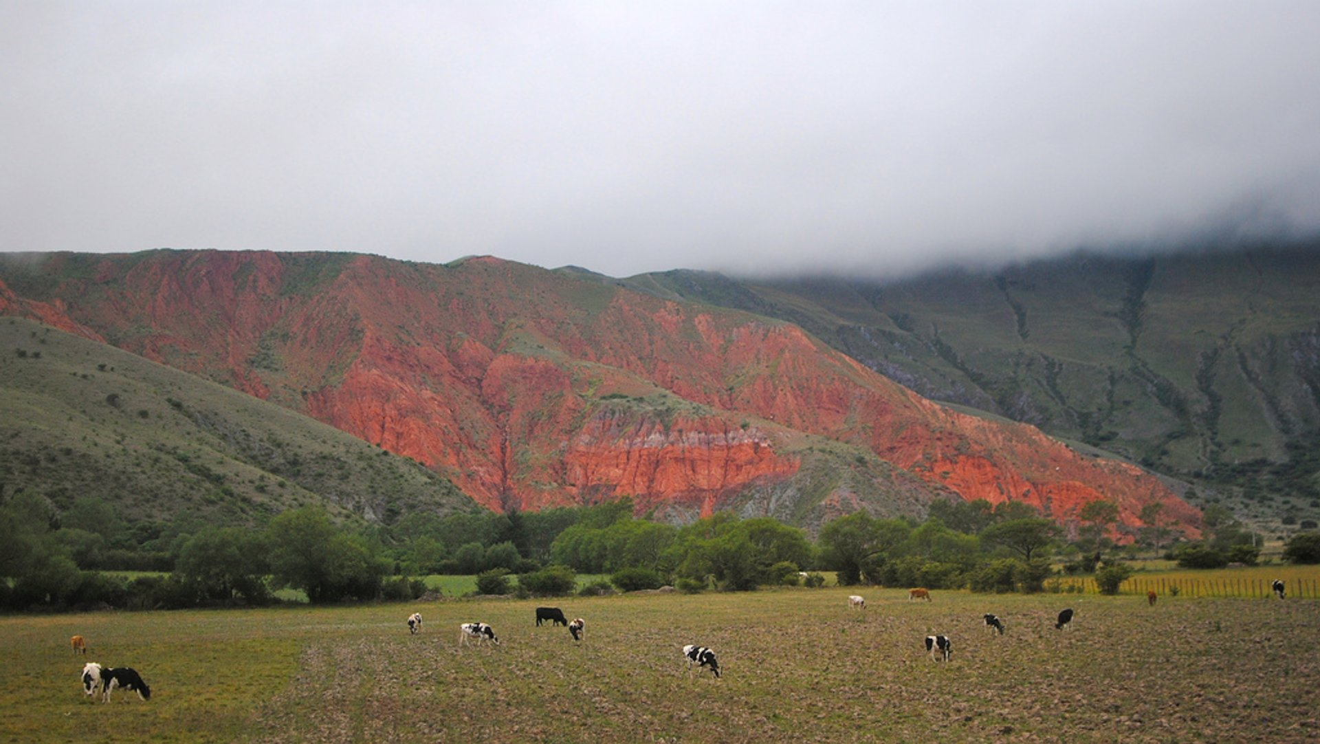 Cows hanging out in a splendid decorum. Between la Quebrada de Humahuaca and Salta, NOA, Argentina
