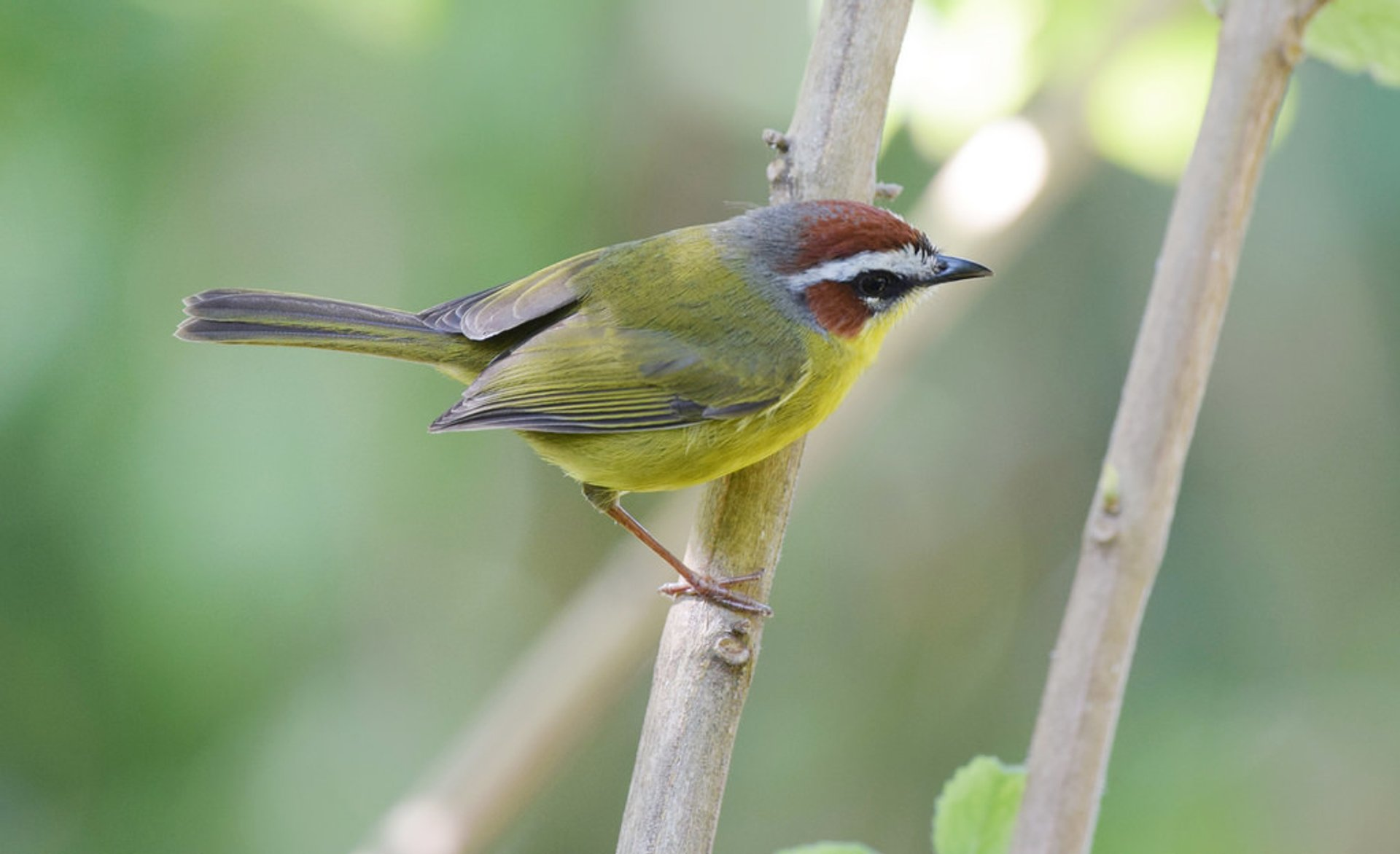Rufous-capped Warbler 2020