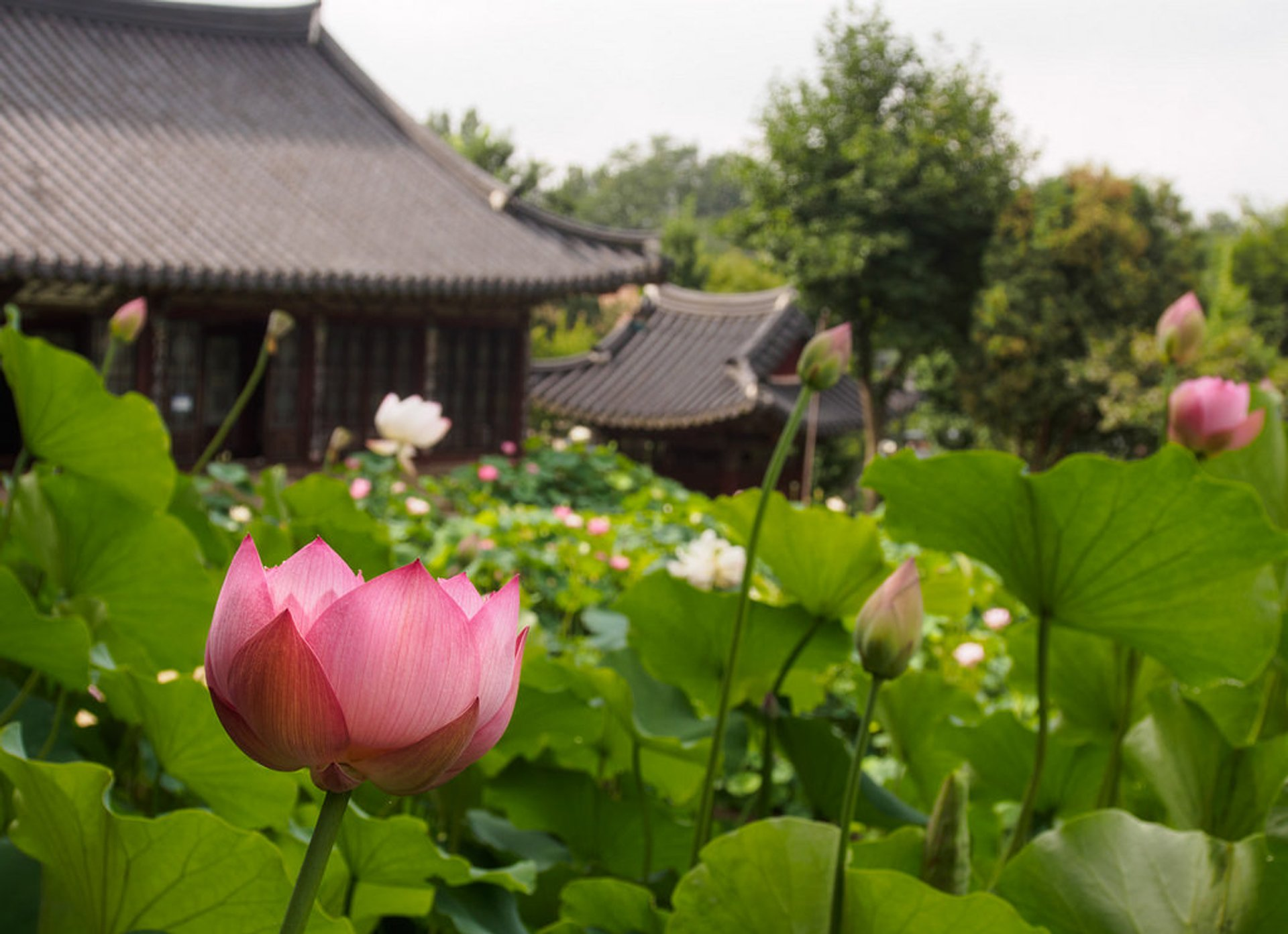Lotus Flower in South Korea 2019 - Best Time