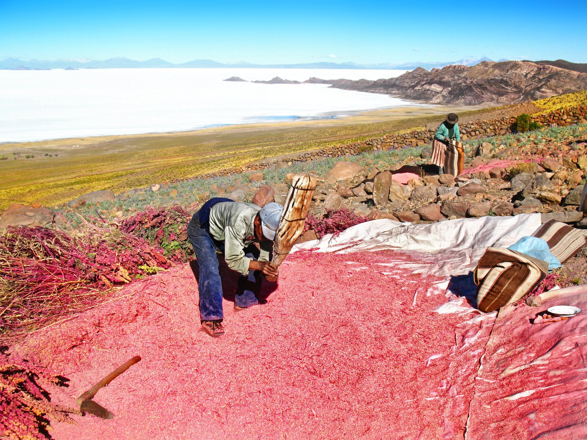 Best time for Quinoa Harvest in Bolivia 2020
