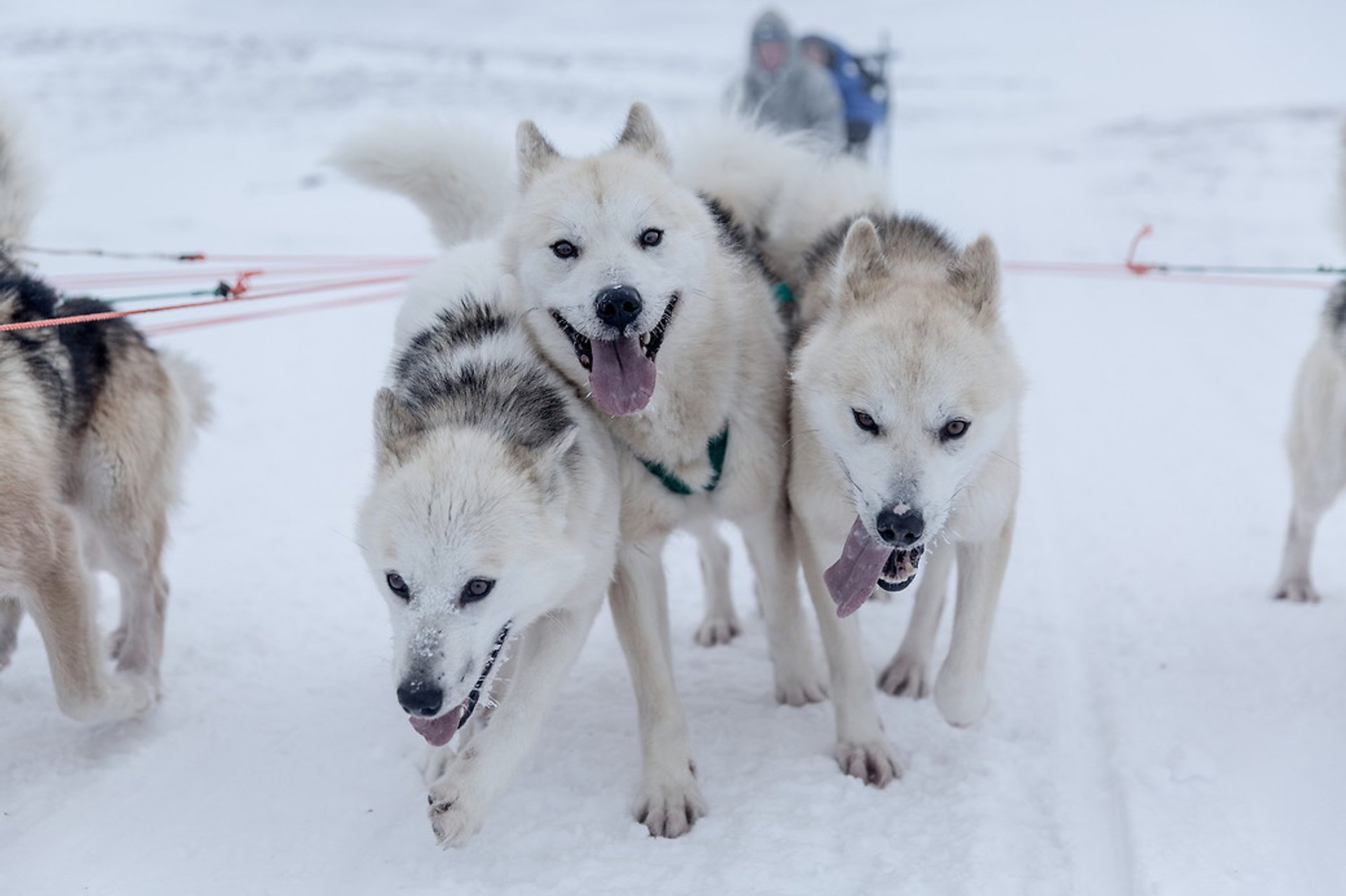 Best time to see Dog Sledding in Greenland 2020
