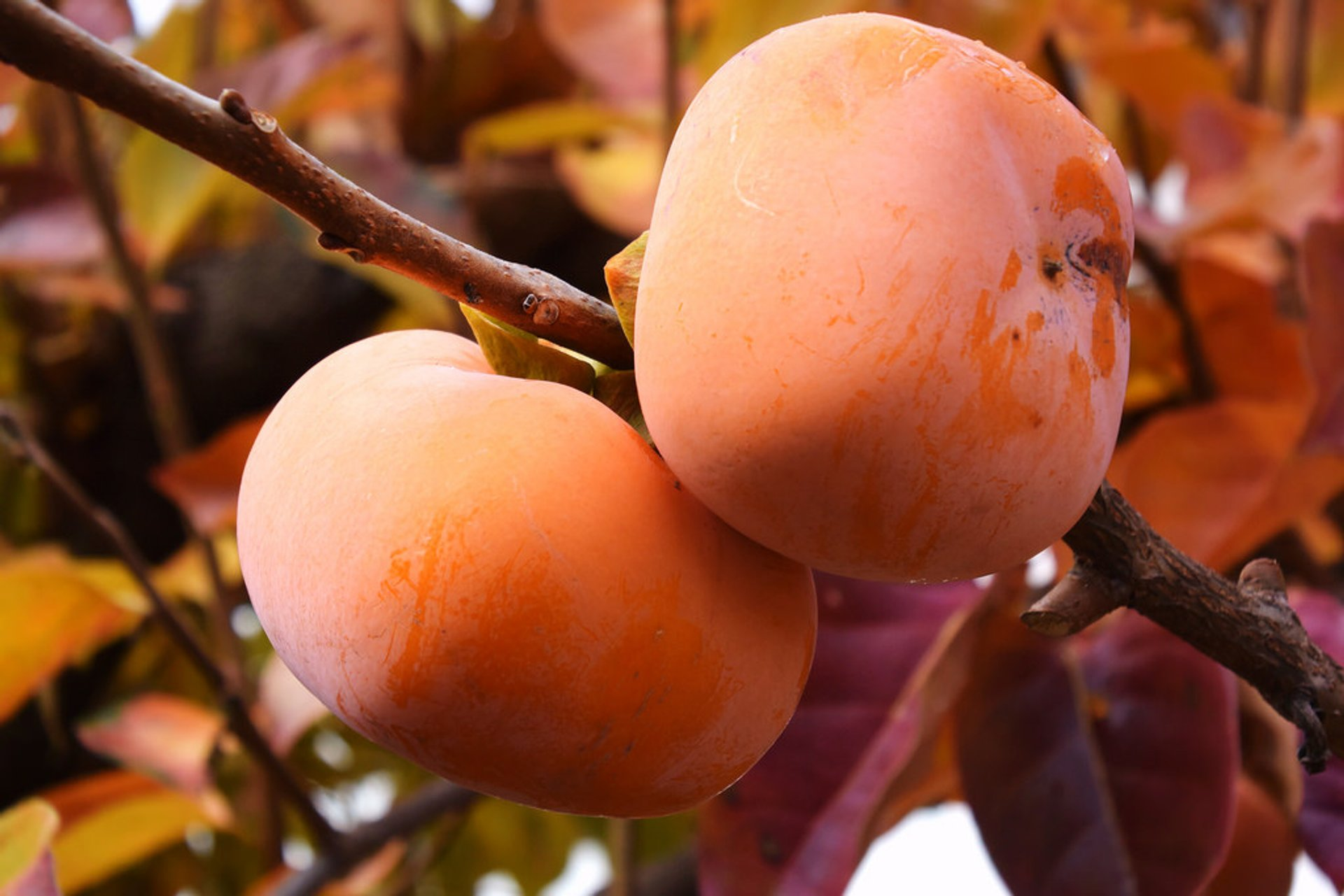 Kaki or Japanese Persimmon in Japan 2020 - Best Time
