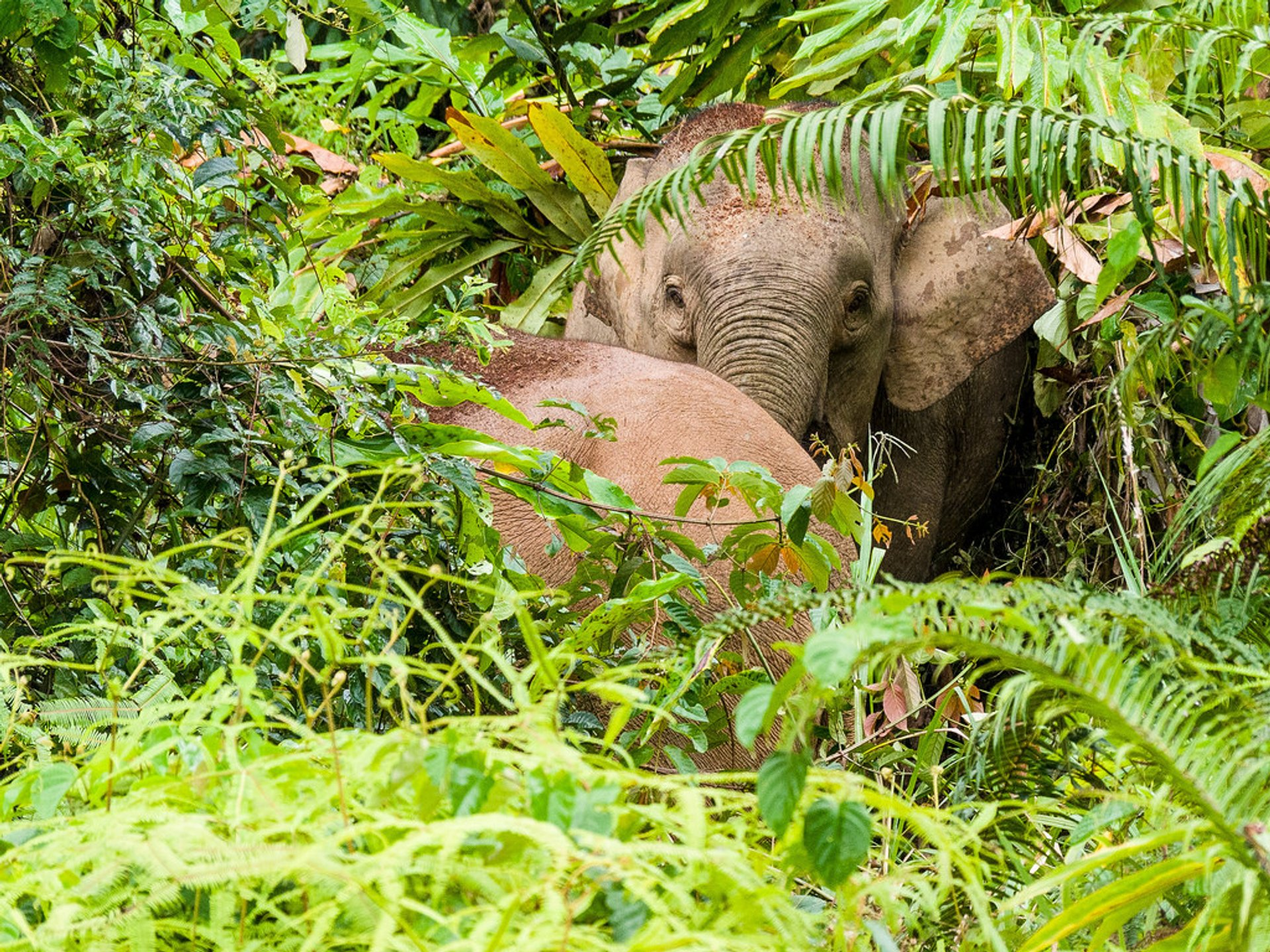 Pygmy Elephants in Malaysia - Best Time