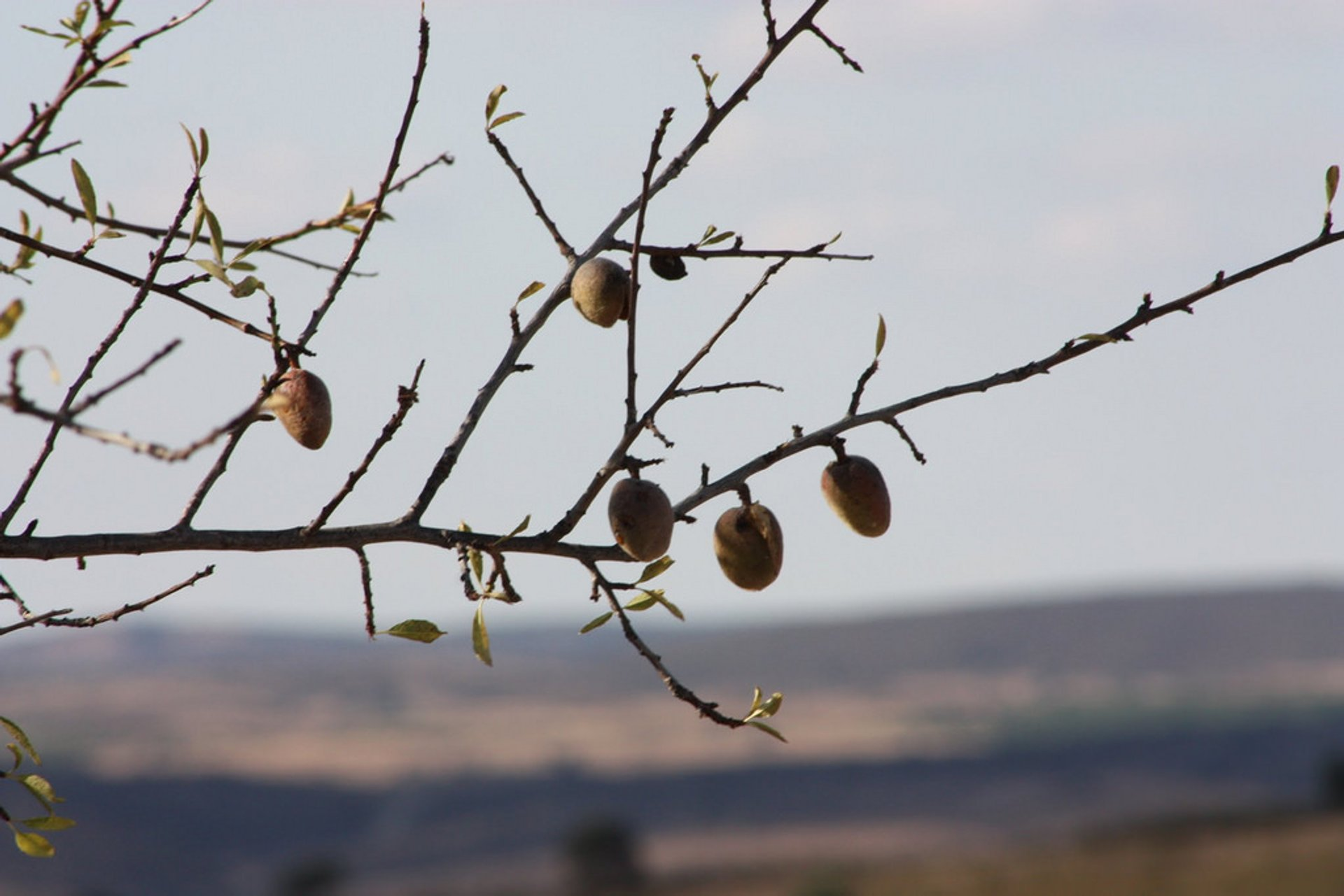 Almond Harvest in Portugal - Best Season 2019