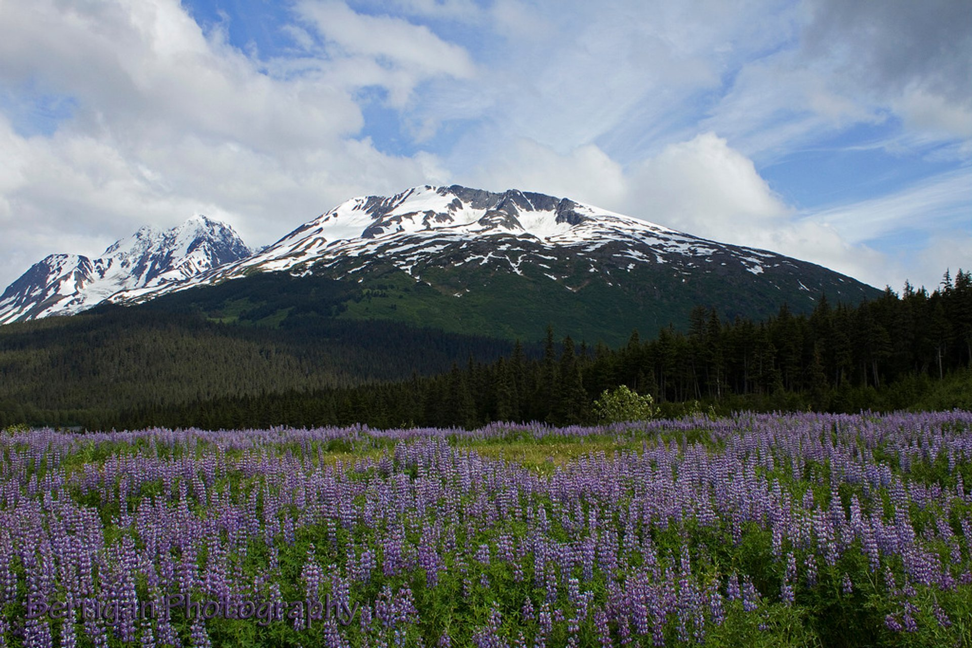 Lupine and mountain near Seward 2020