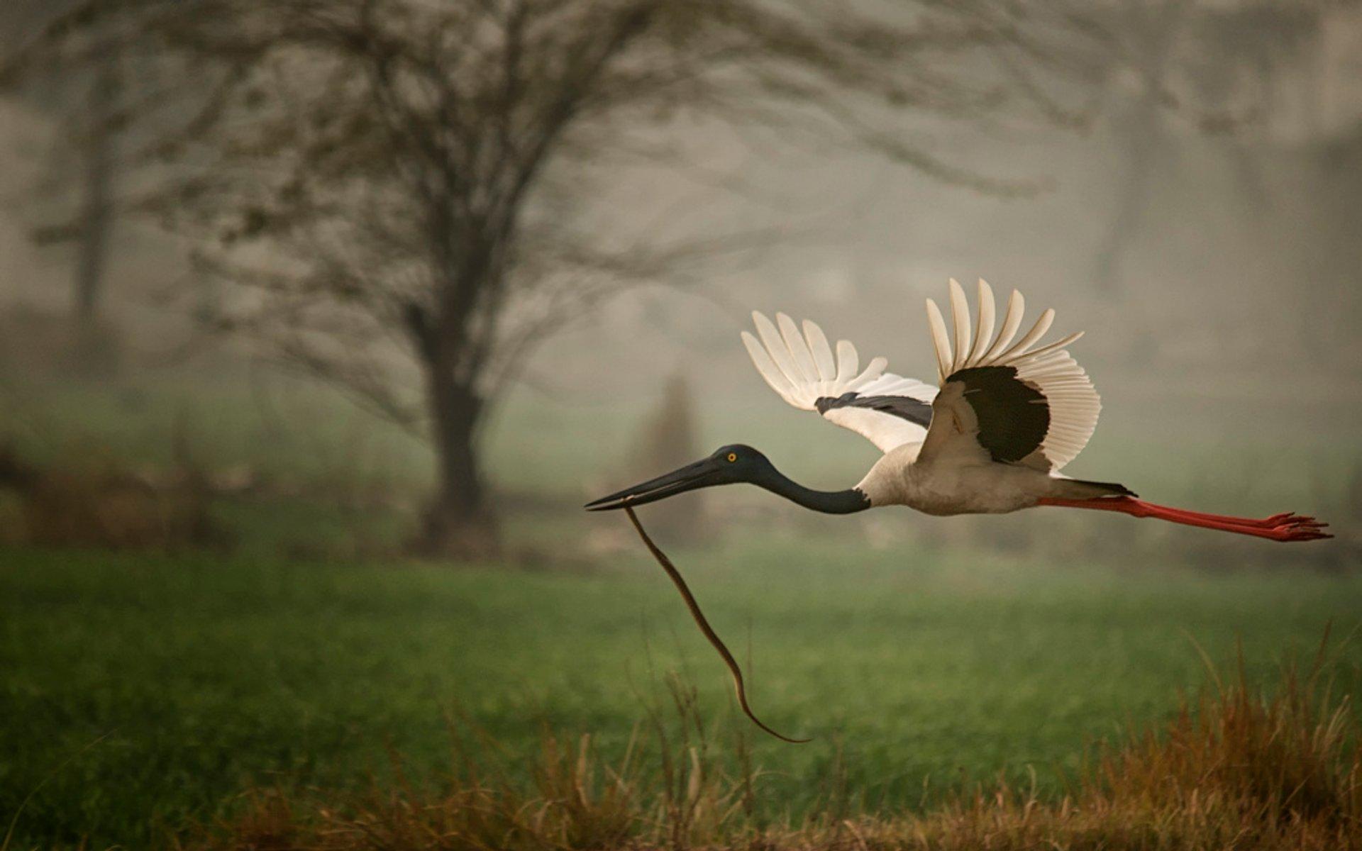 Black Necked Stork 2020