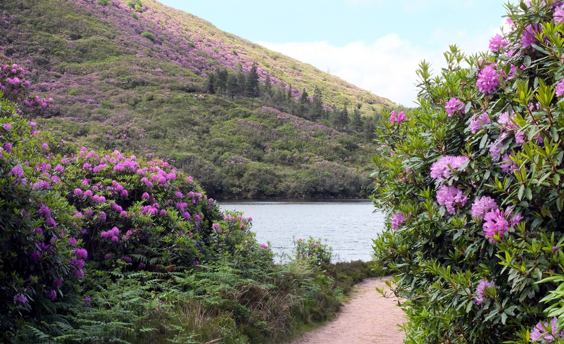 Best time for Vee Pass Rhododendrons in Ireland 2020