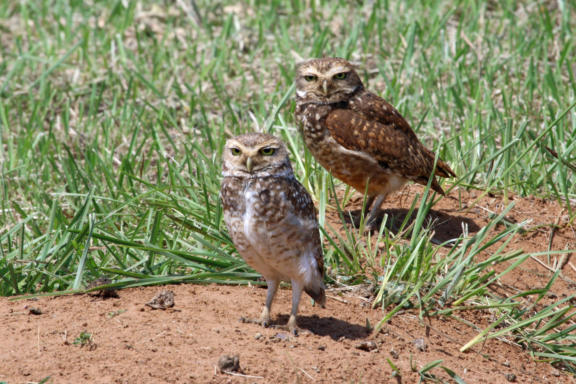 Burrowing Owl Nesting Season in Argentina - Best Time