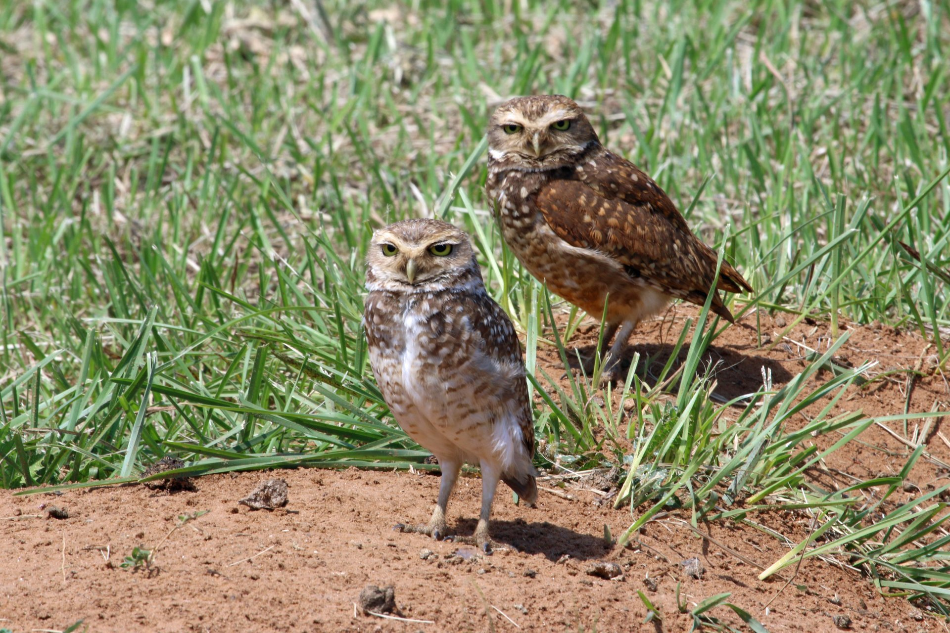 Burrowing Owl Nesting Season in Argentina 2019 - Best Time