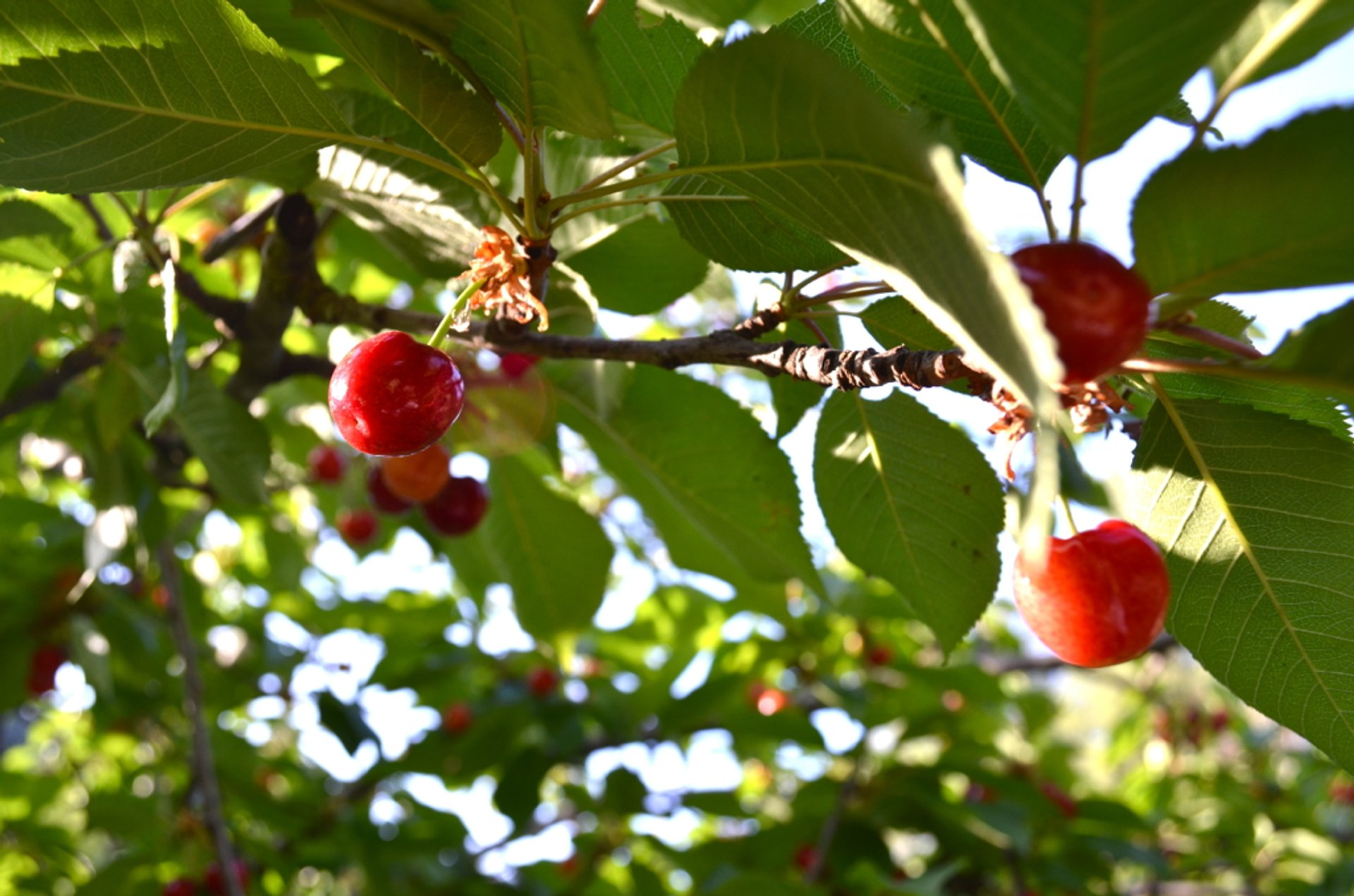 Cherries in Cyprus 2019 - Best Time
