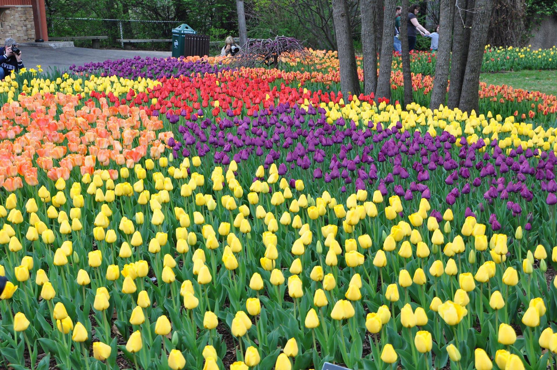 Tulips at Cincinnati Zoo & Botanical Gardens 2020