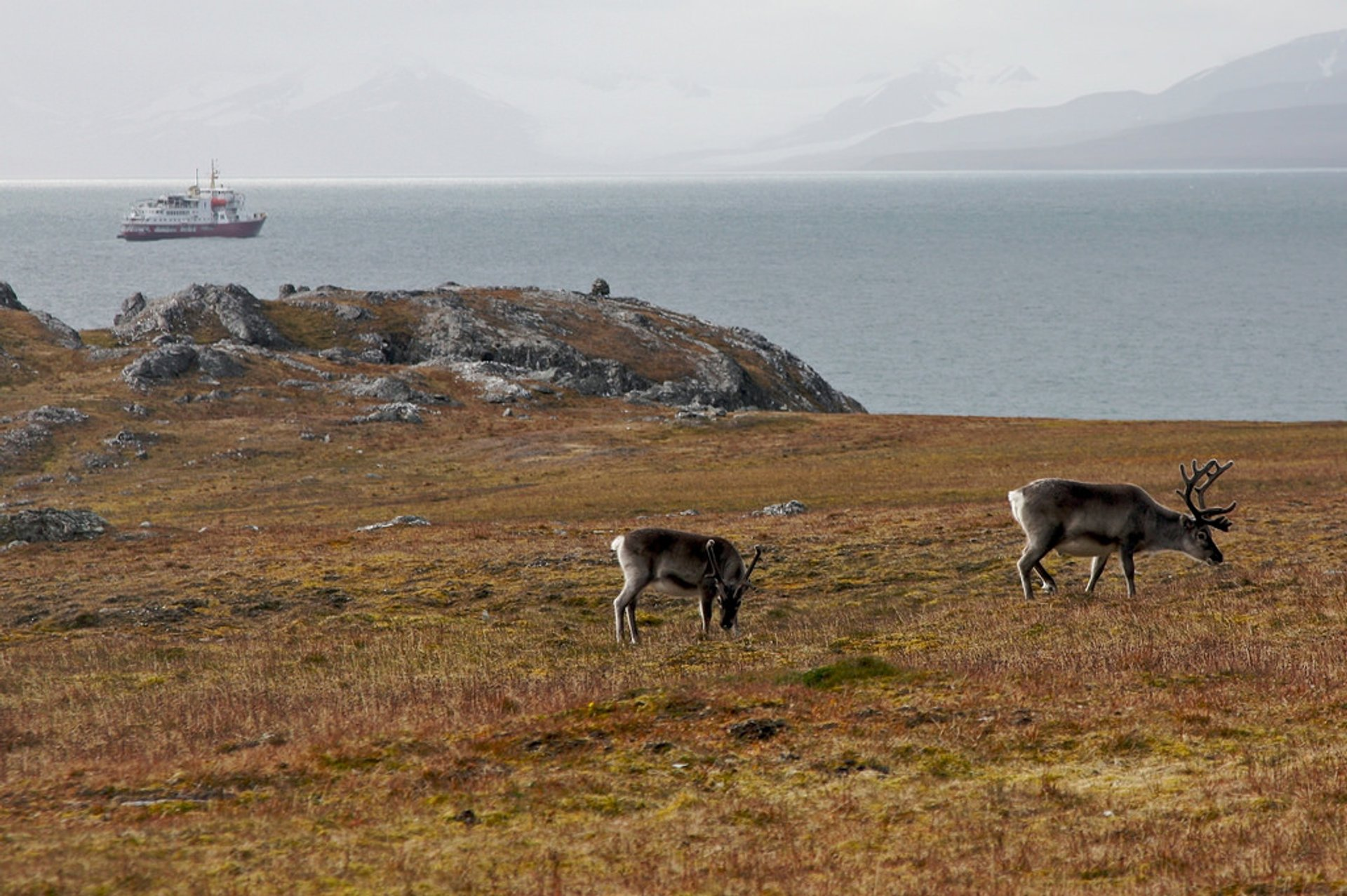 Best time for Reindeer in Svalbard 2020