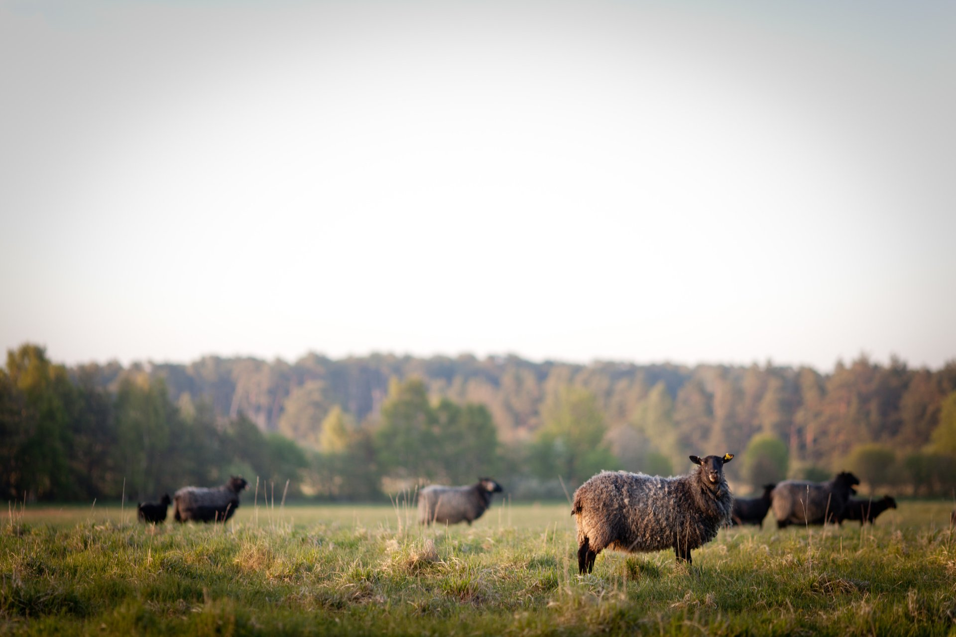 Best time to see Gotland Pelt Sheep in Sweden 2020
