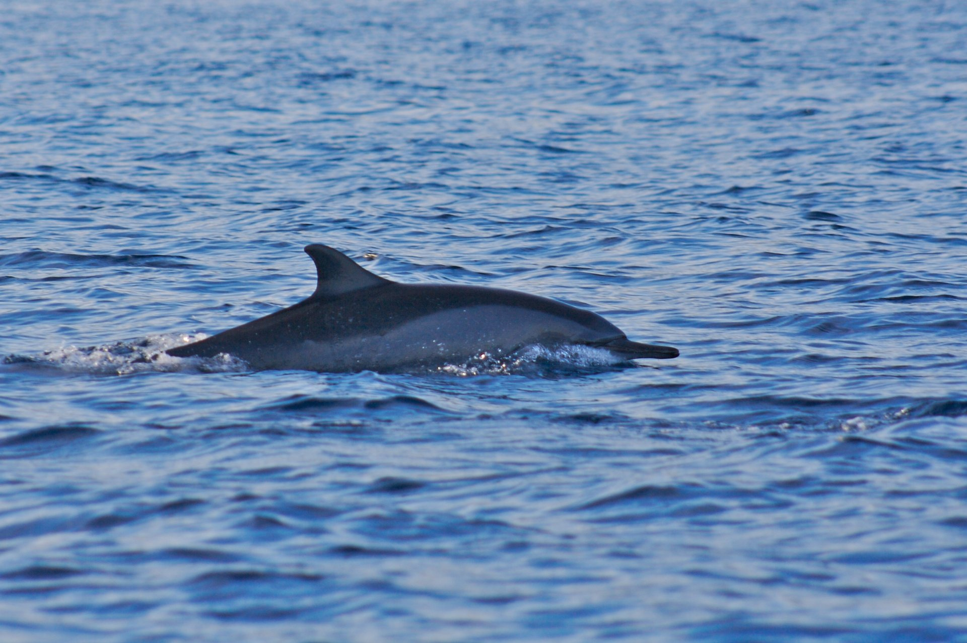 Lovina Dolphin Watching in Bali - Best Season 2020