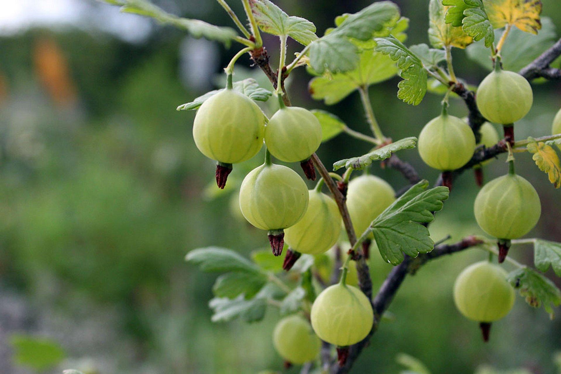 Berry Season in Wales 2020 - Best Time
