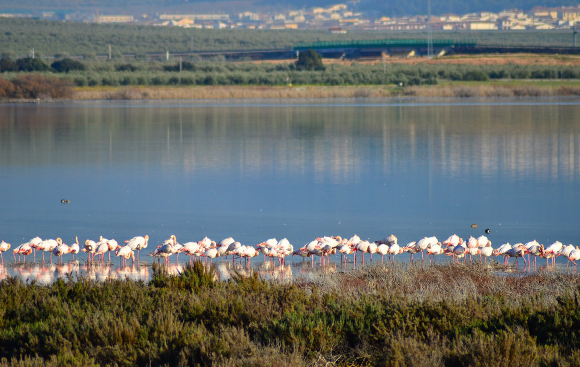 Fuente de Piedra Flamingos in Spain - Best Season 2019