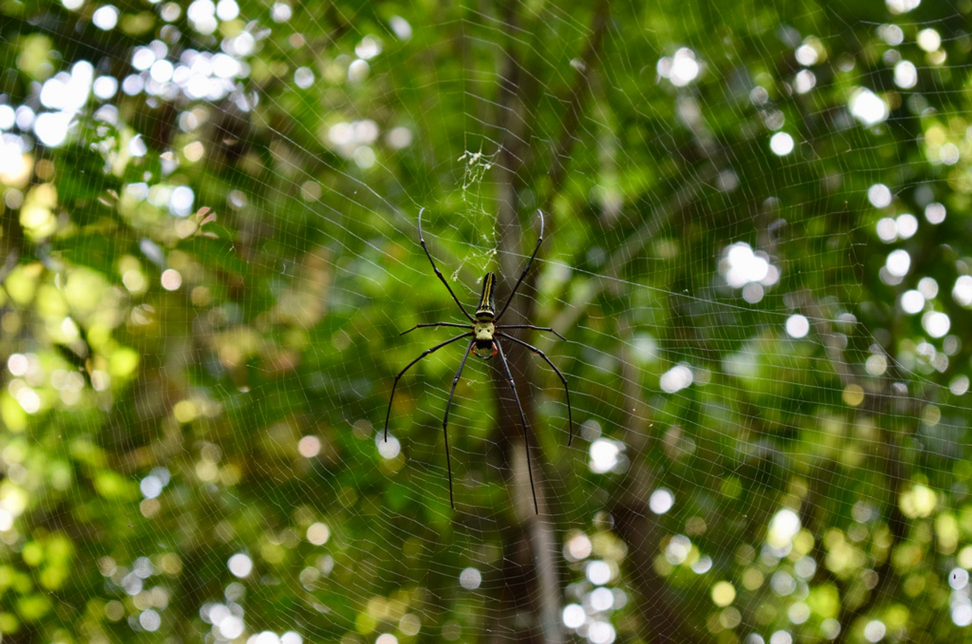 A large female nephila pilipes spotted in Sinharaja rainforest reserve 2020