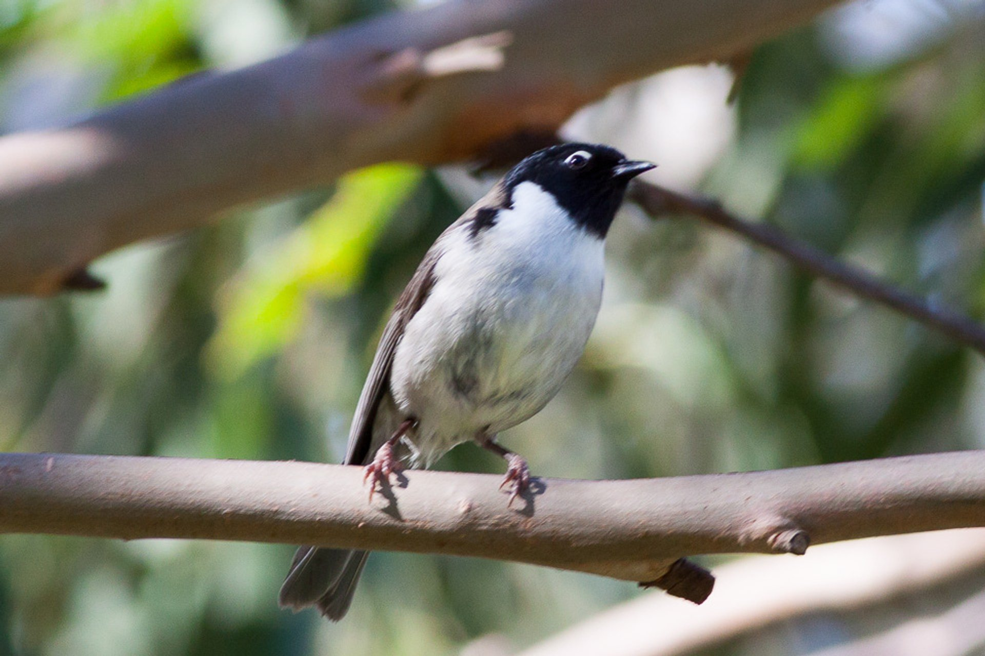 Black-headed Honeyeate 2020