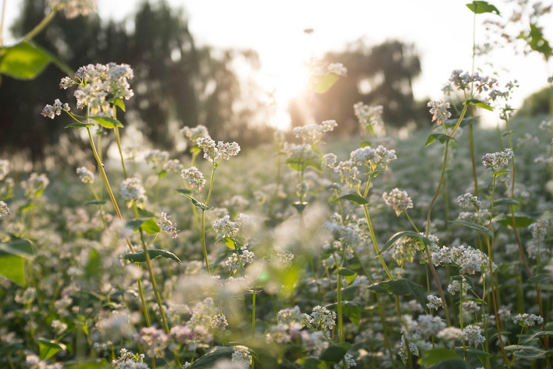 Buckwheat Bloom in South Korea - Best Season 2020