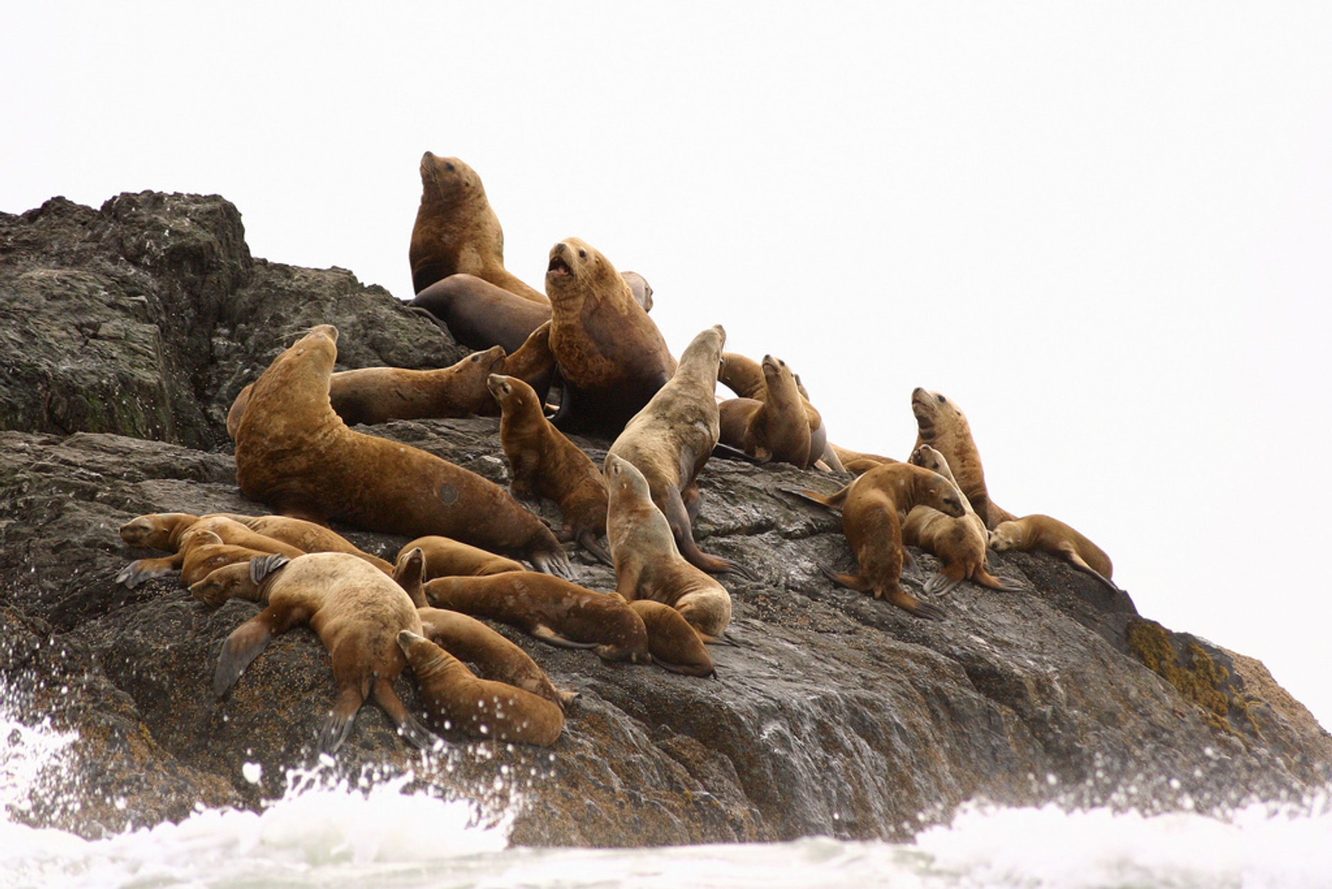 Sea Lion Pups in British Columbia 2020 - Best Time