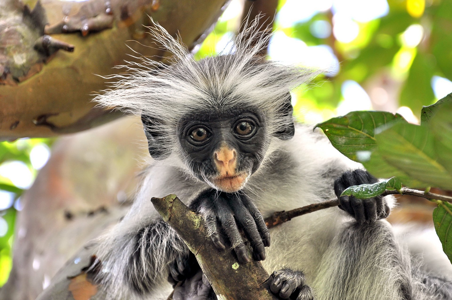 Baby Red Colobus Monkeys in Zanzibar - Best Time