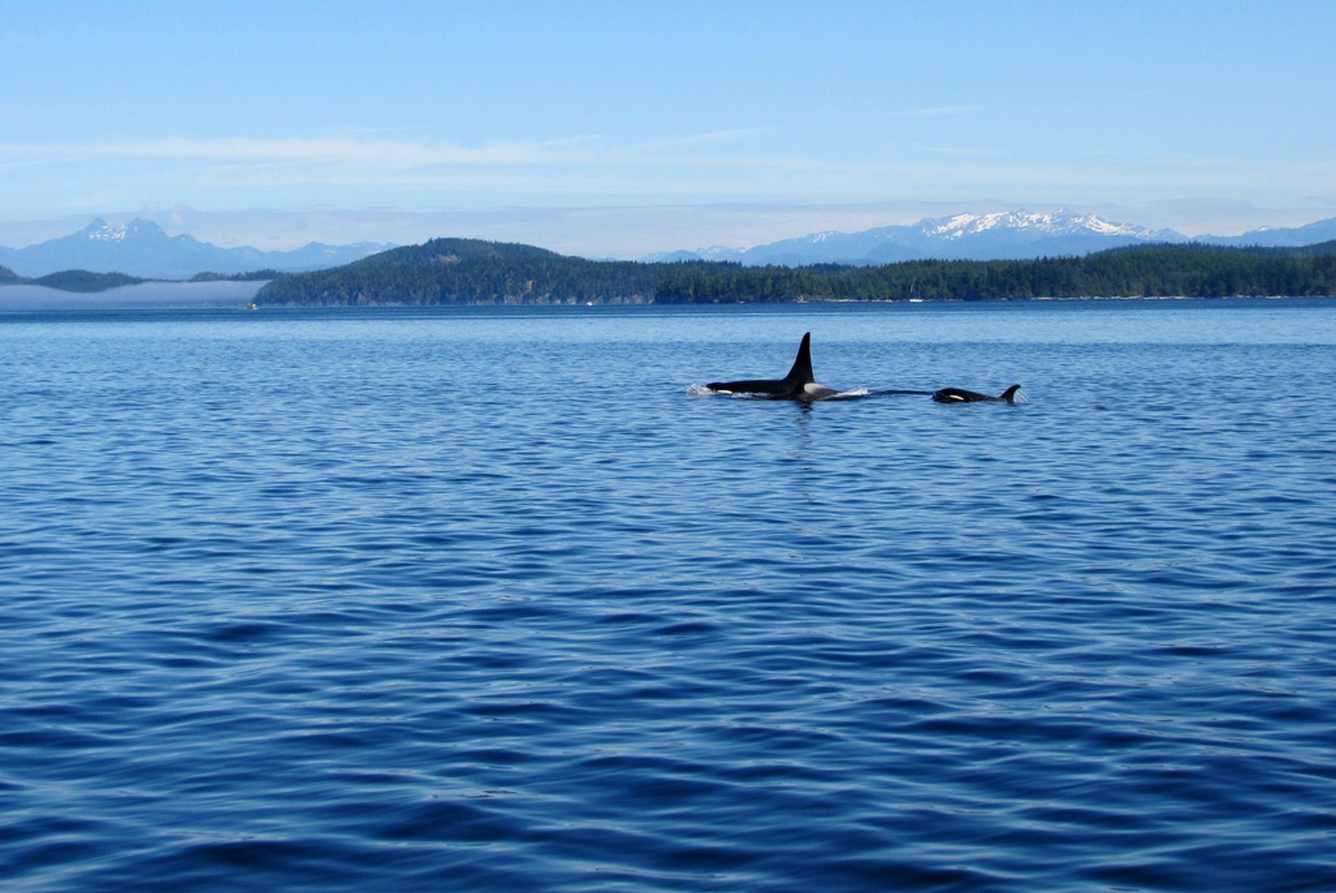 Orca at Port McNeill 2020
