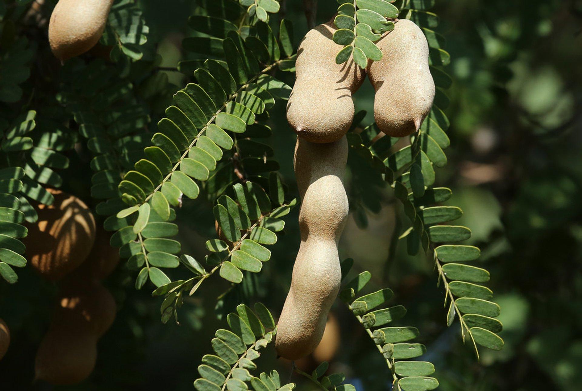 Tamarind Fruit in Costa Rica - Best Time