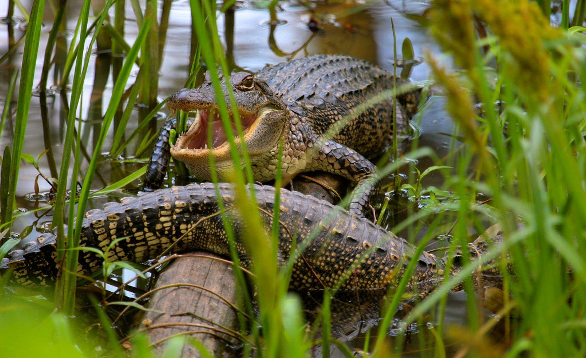 Baby alligators, swamp south of Elm Lake 2020