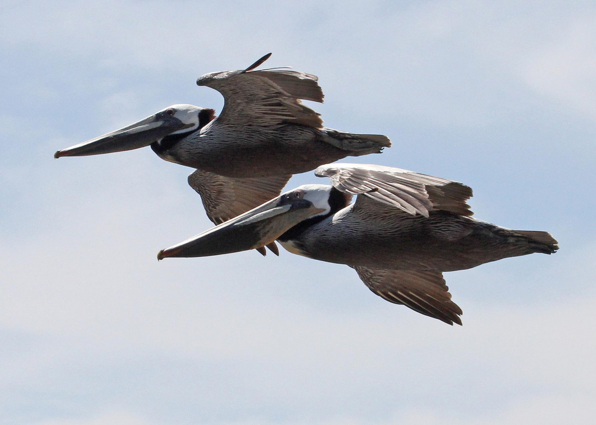Brown Pelicans in California - Best Time
