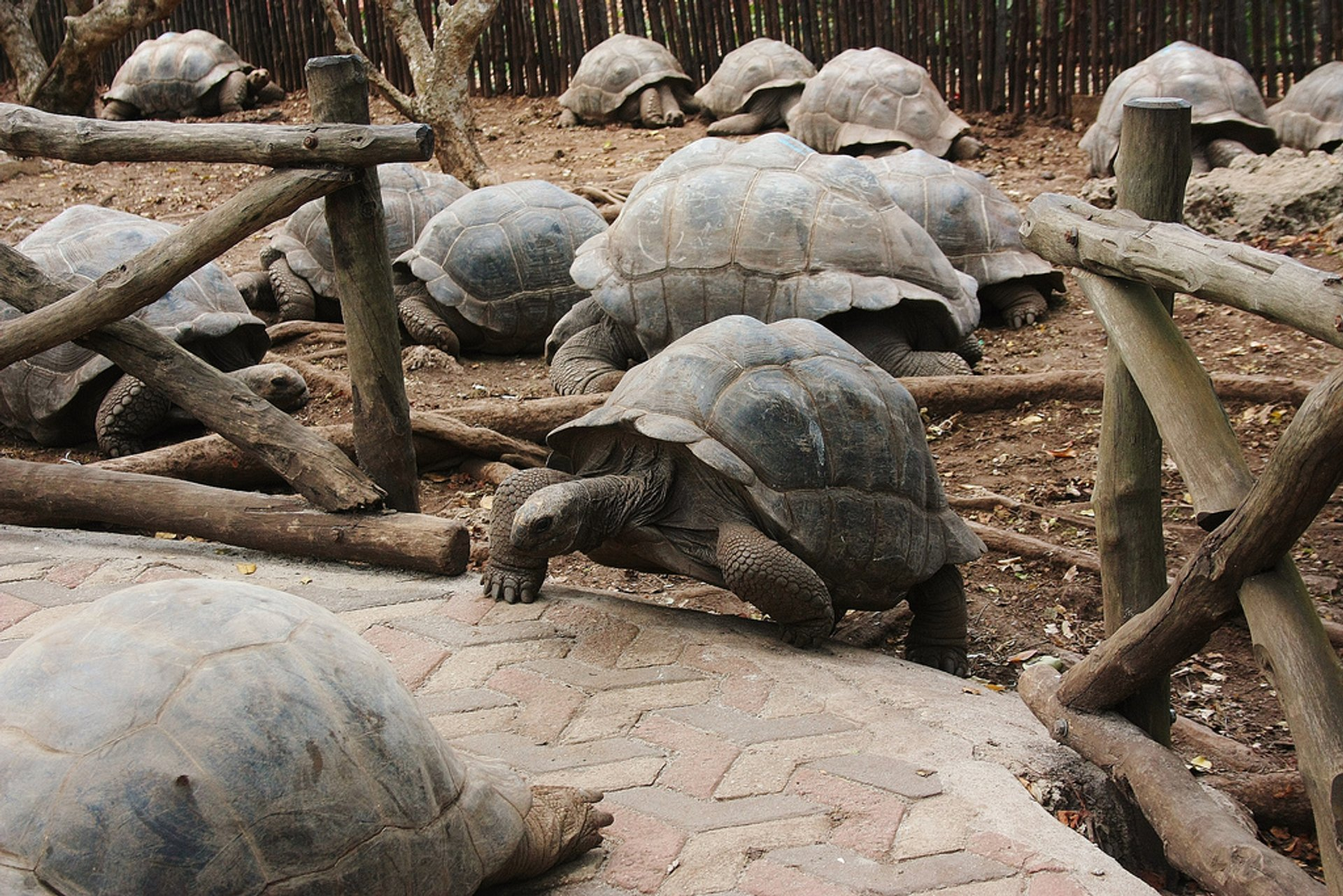Best time for Baby Giant Tortoises on Prison Island in Zanzibar 2019