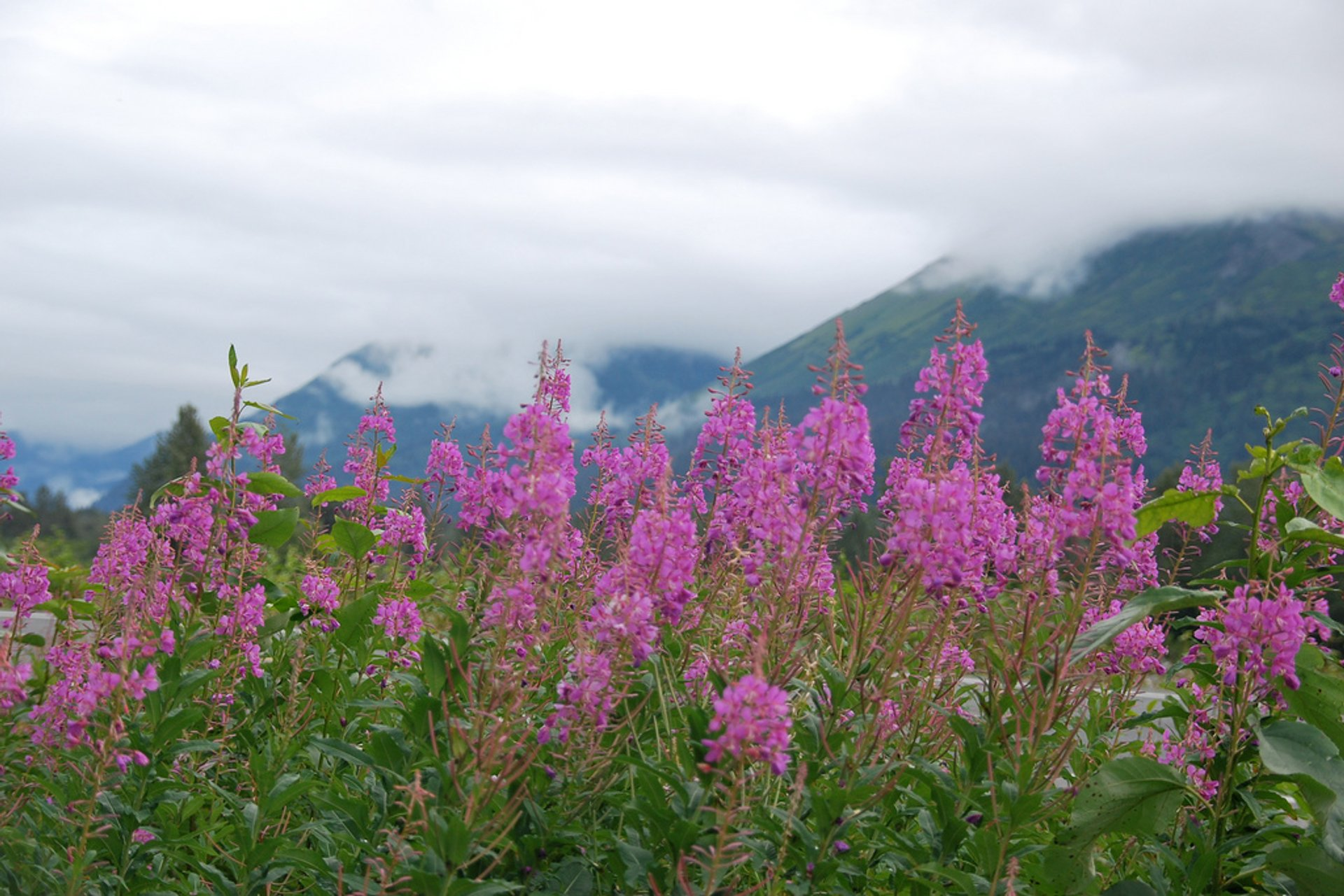 Fireweed and Shooting Stars Bloom in Alaska 2020 - Best Time