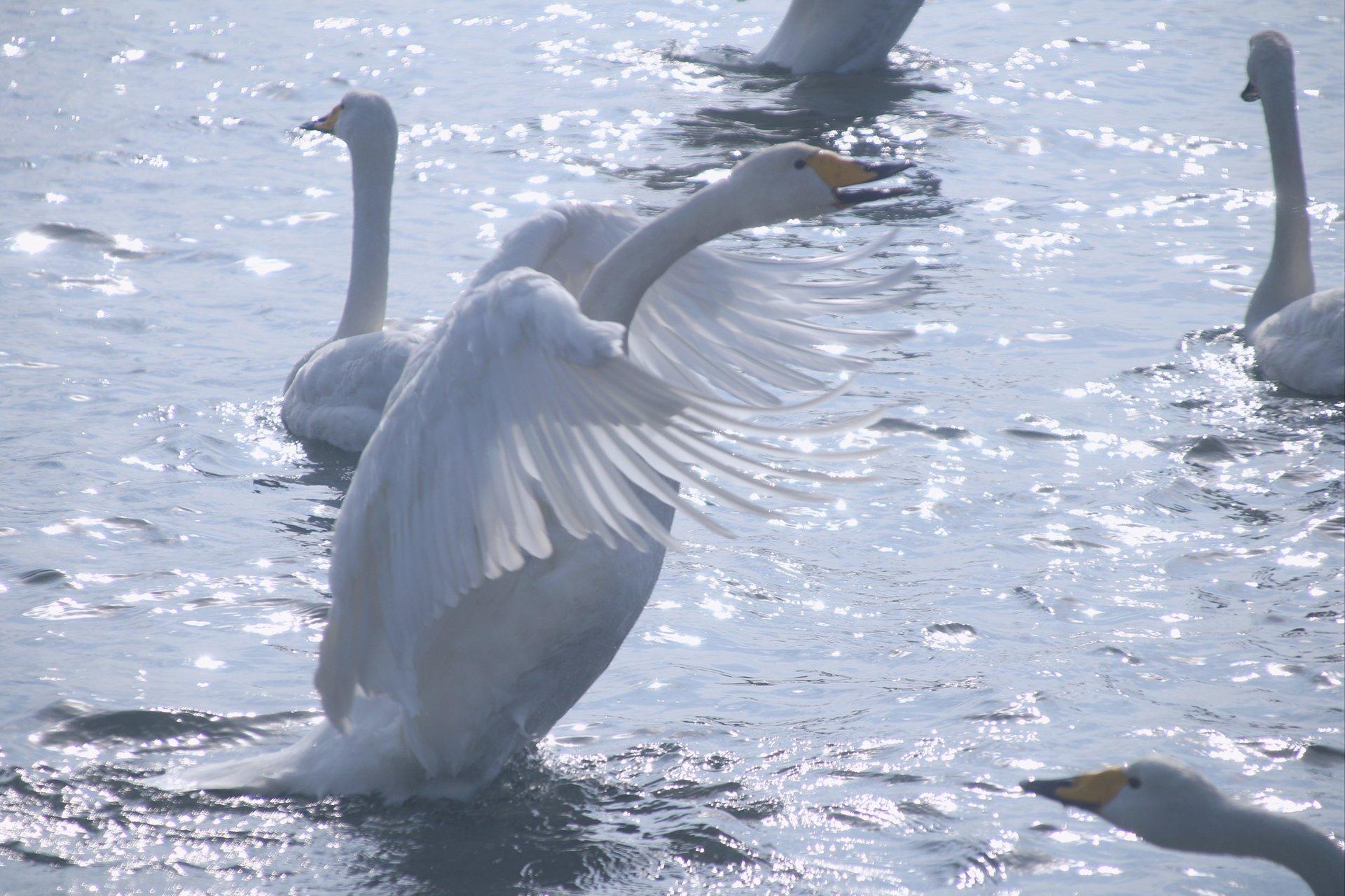 Swans 2020