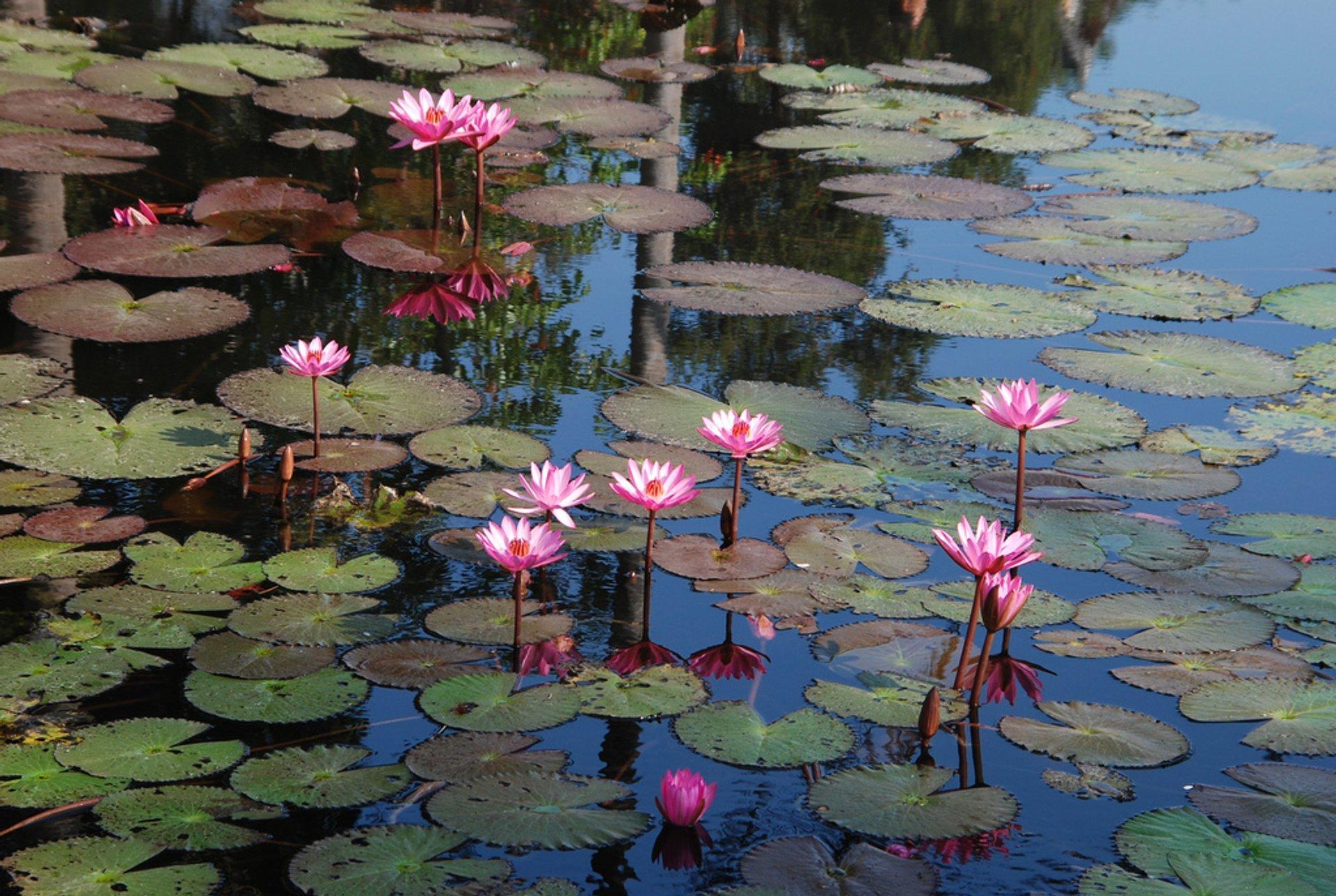 Water Lily in Laos - Best Season 2020