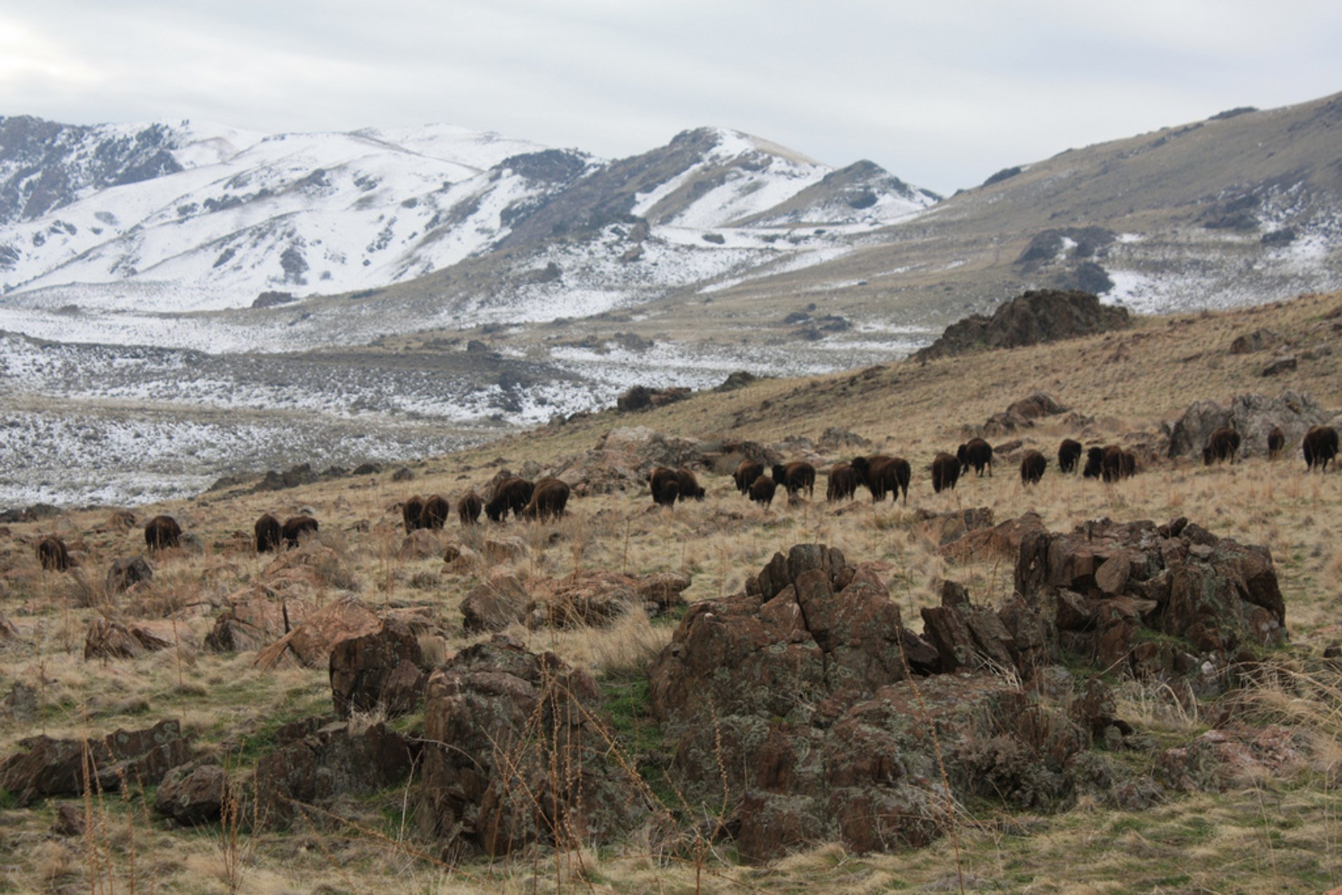 Bison at Antelope Island State Park 2020