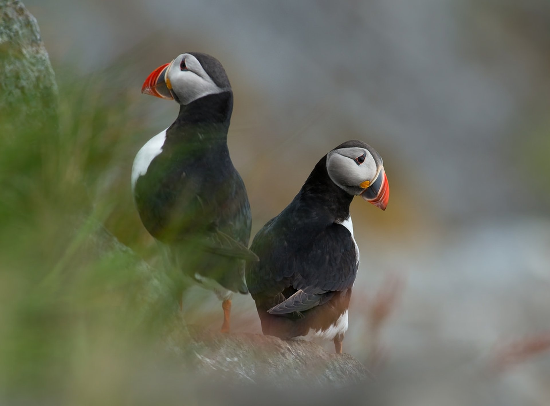 Atlantic Puffins in Karmøy, Norway 2019