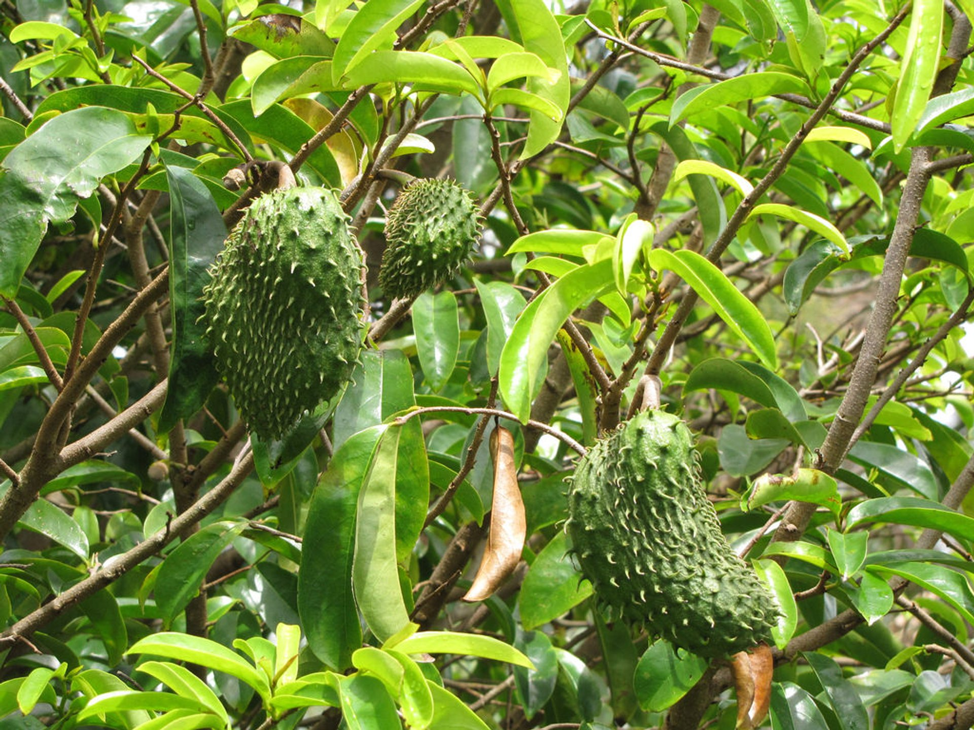 Soursop in Hawaii 2020 - Best Time