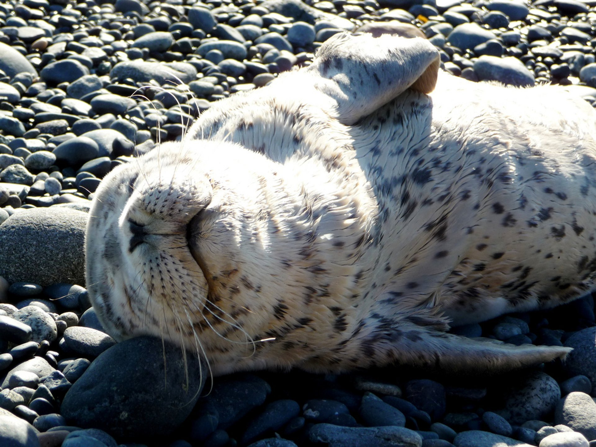 Seal Pups in British Columbia 2020 - Best Time