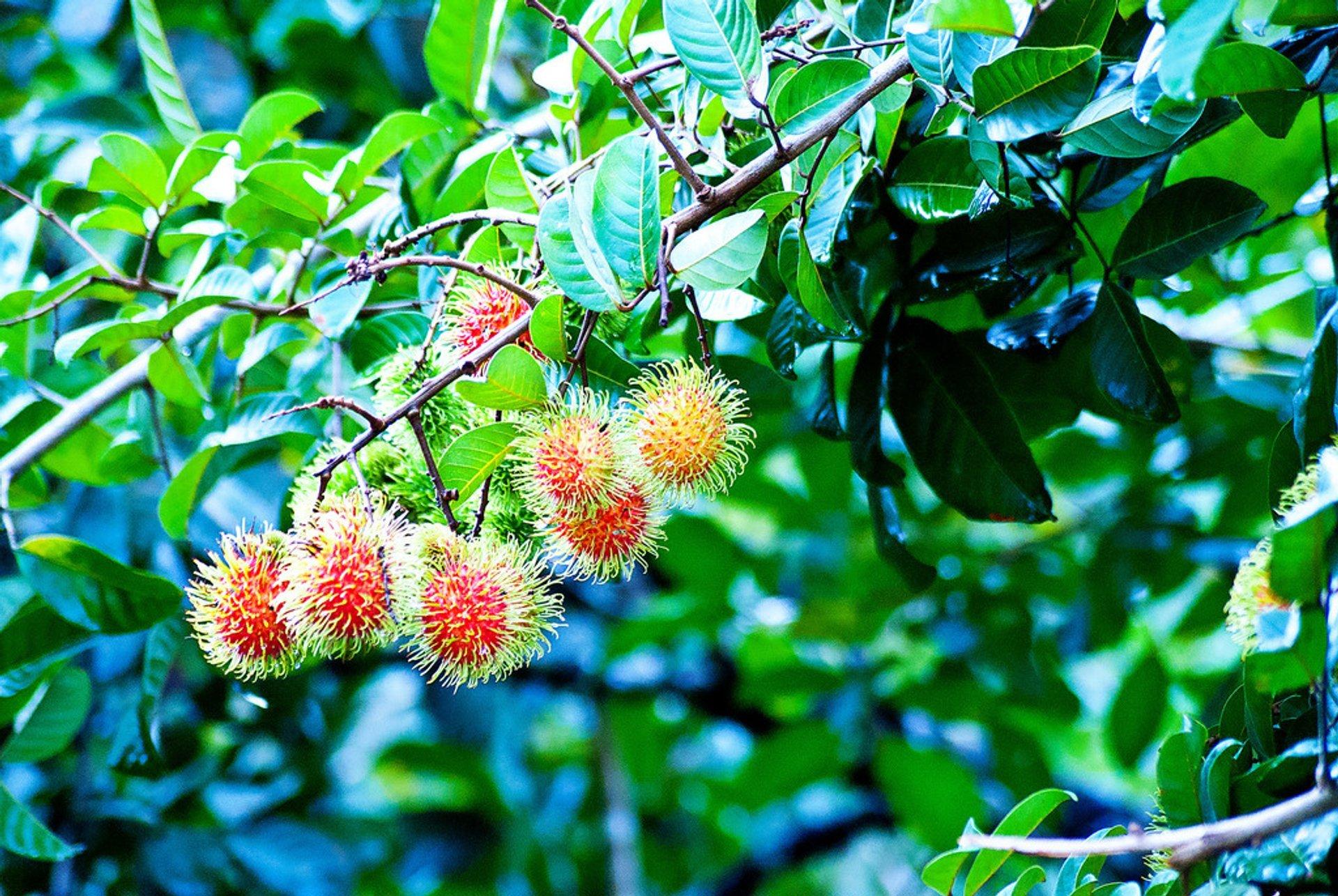 Rambutan in Honduras - Best Time